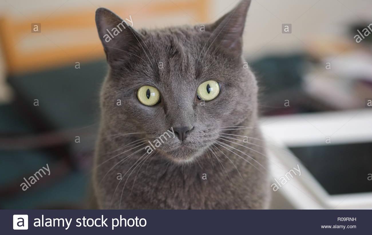 Niedliche graue Katze Stockbild