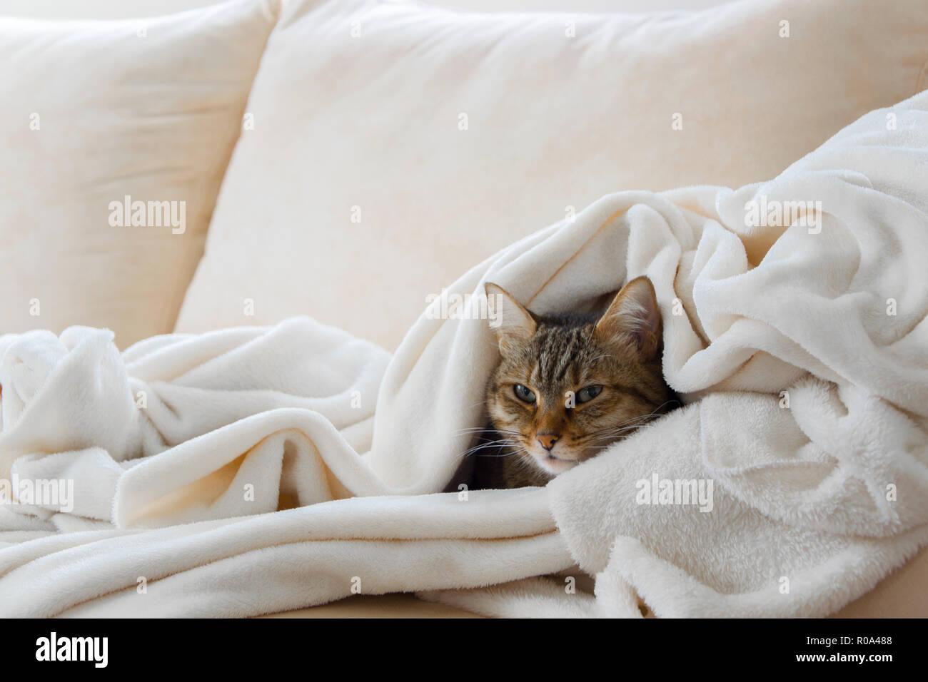 Schöne europäische Katze ist Entspannung in der weiche, weiße Decke auf einem Sofa Stockbild