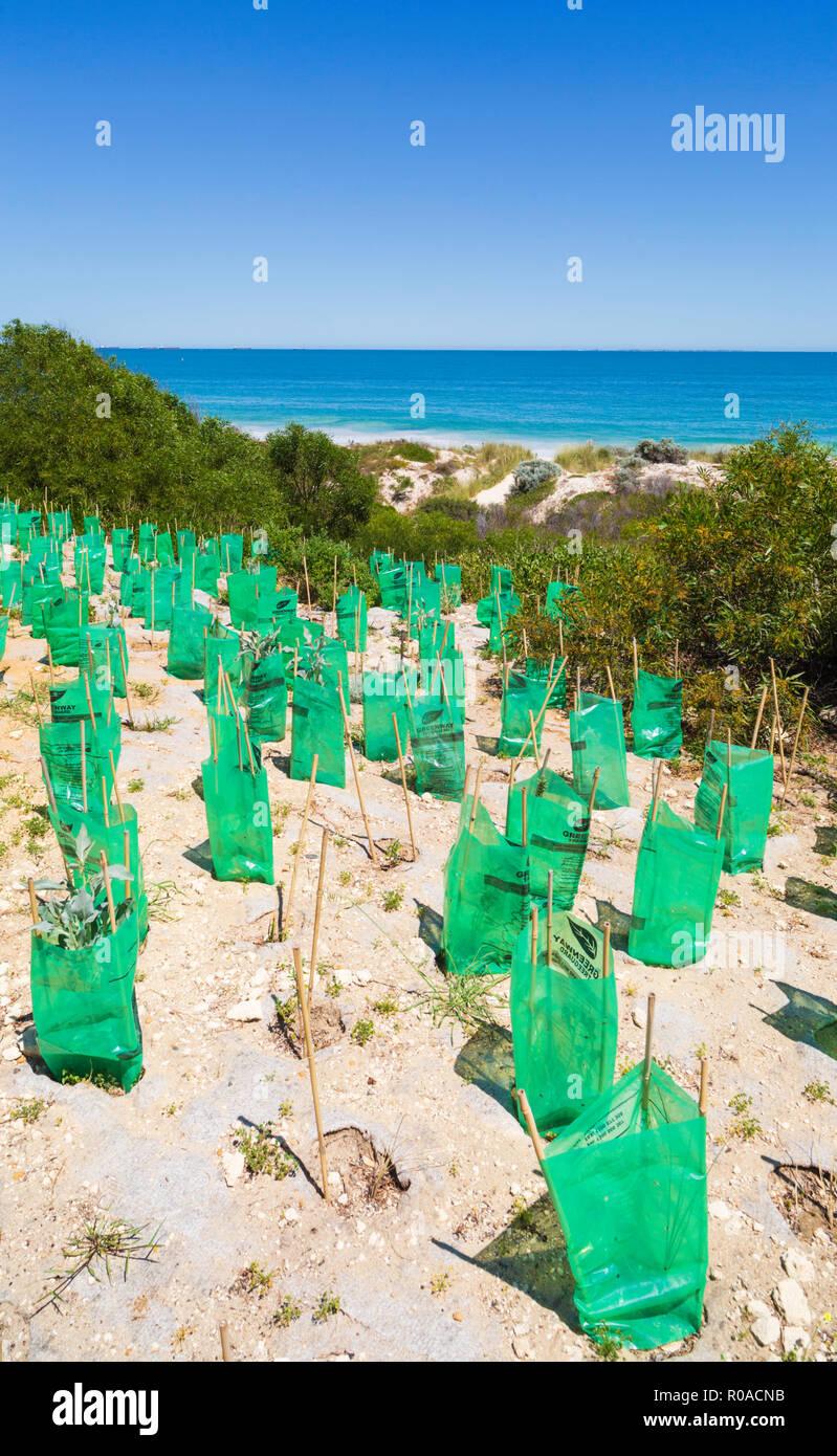 Neue native Anlagen mit sämling Protektoren in einem Sand Dune Conservation Area am Cottesloe Beach gepflanzt, Stockbild