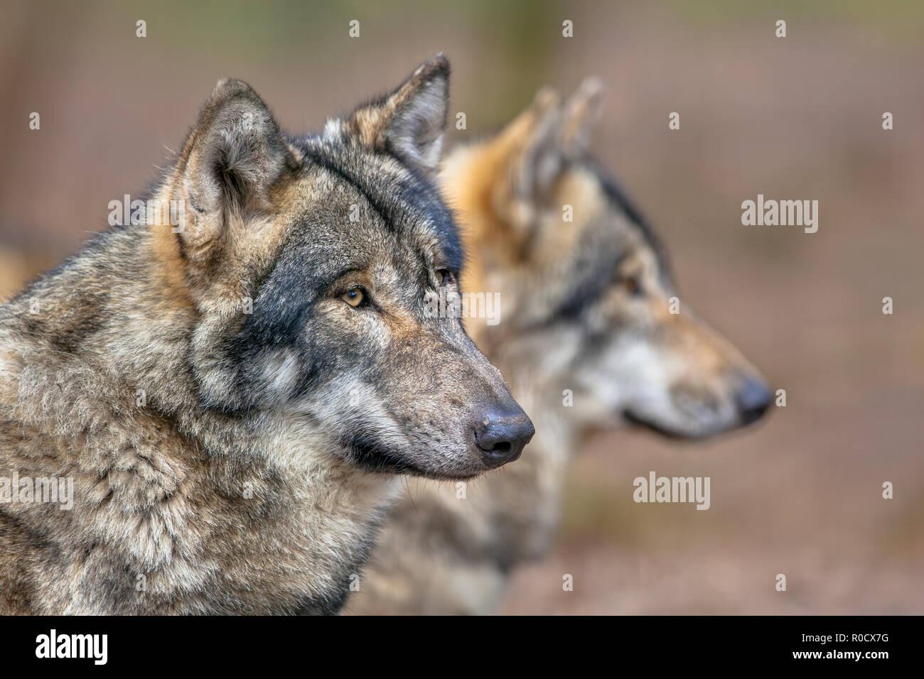 Zwei erholungstagen Eurasischen Graue Wölfe (Canis lupus Lupus). Sie ist die am stärksten spezialisierten Mitglied der Gattung Canis, wie durch seine morphologischen adapta gezeigt Stockbild