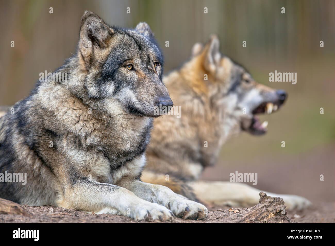 Der eurasischen Grauer Wolf (Canis lupus Lupus) ist der am meisten spezialisierten Mitglied der Gattung Canis, wie durch seine morphologischen Anpassungen zu jagen gezeigt Stockbild