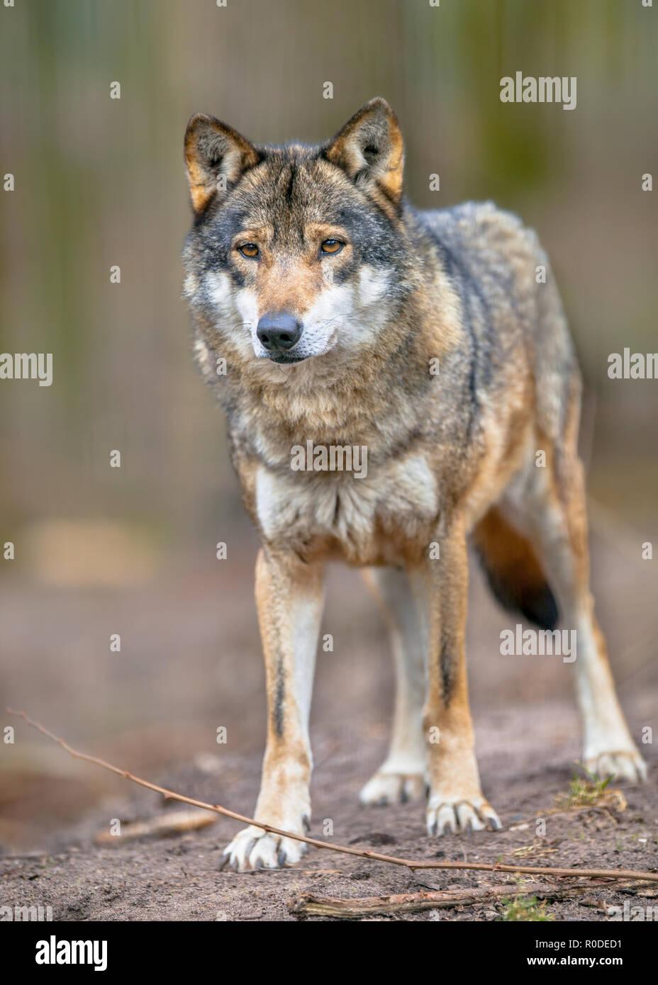 Der Graue Wolf (Canis lupus Lupus) ist der am meisten spezialisierten Mitglied der Gattung Canis, wie durch seine morphologischen Anpassungen an die Jagd große gezeigt Stockbild