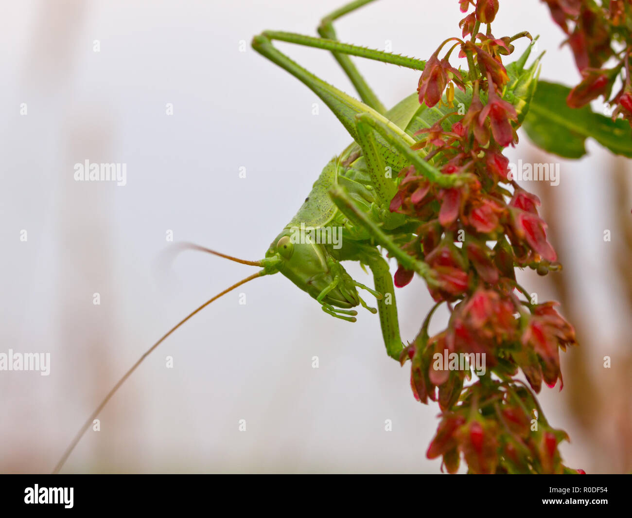 Große grüne Bush-Cricket (Tettigonia Viridissima) gegen Weiße Stockbild