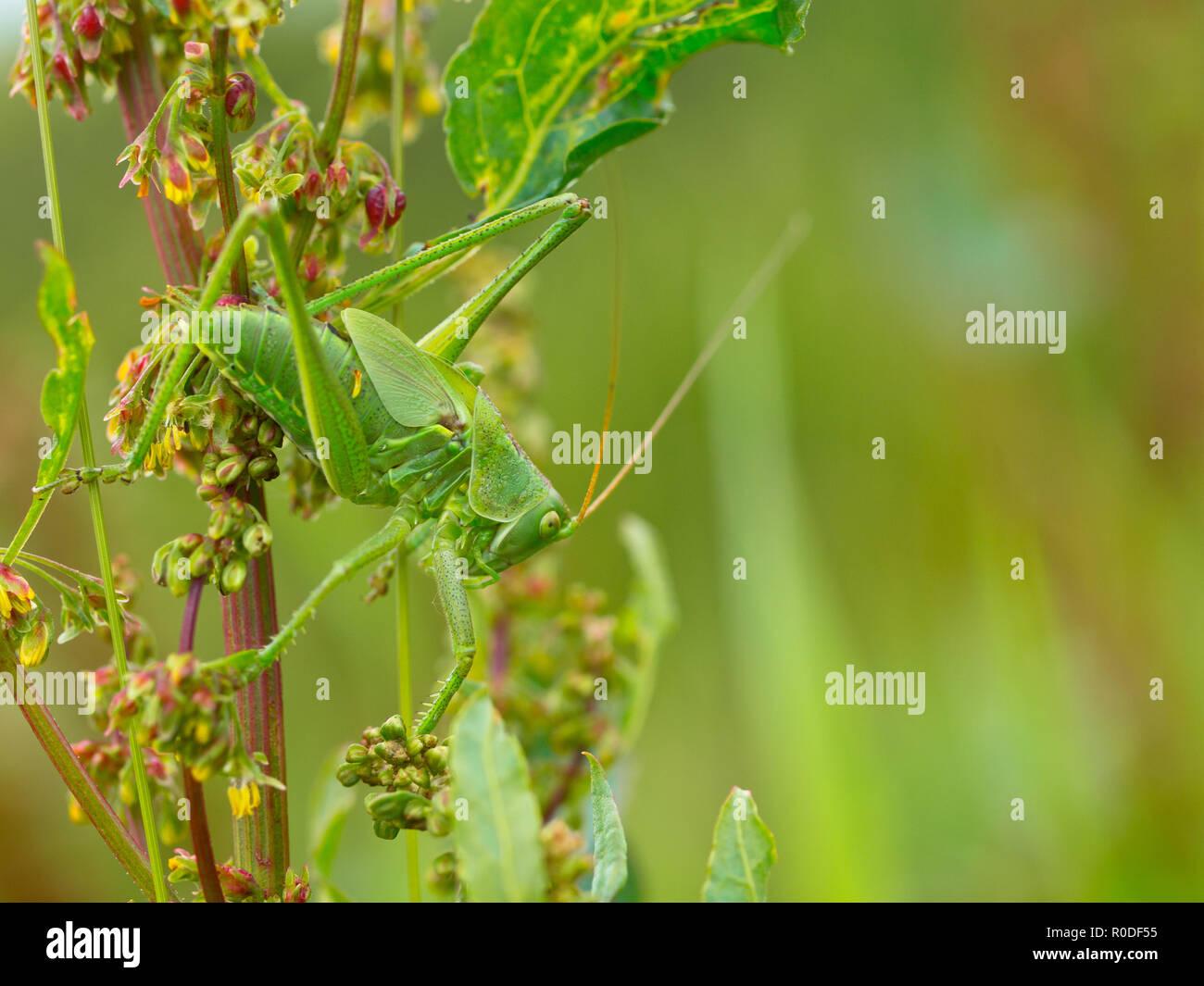Große grüne Bush-Cricket (Tettigonia Viridissima) ist Klettern durch die Vegetation Stockbild