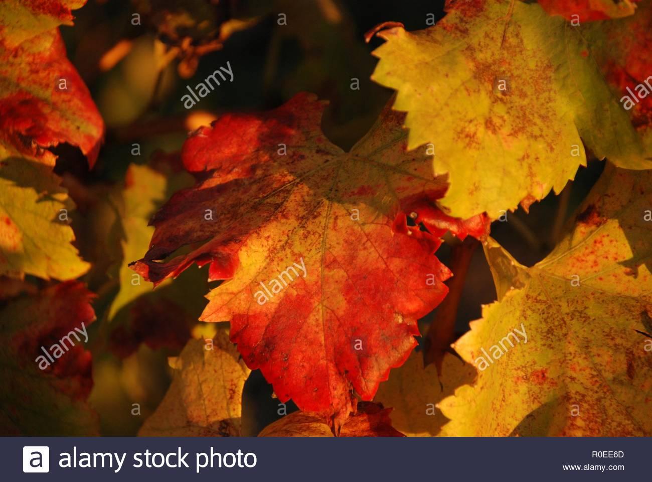 Herbst weinlaub stockbild