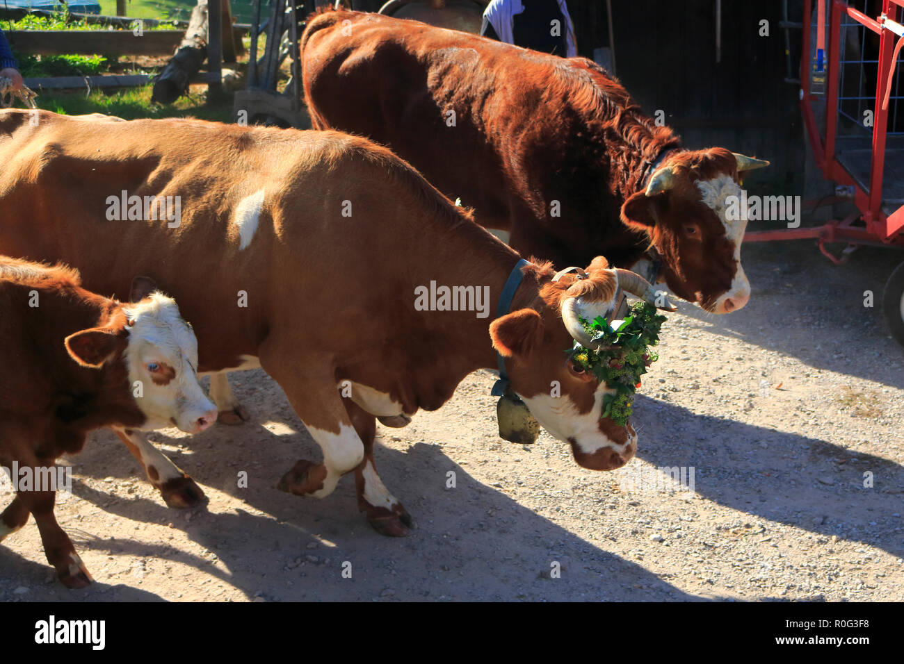 Rinder, Kühe, Kälbchen und Bullen, mit Blumen geschmückt, beim Weideabtrieb Stockfoto