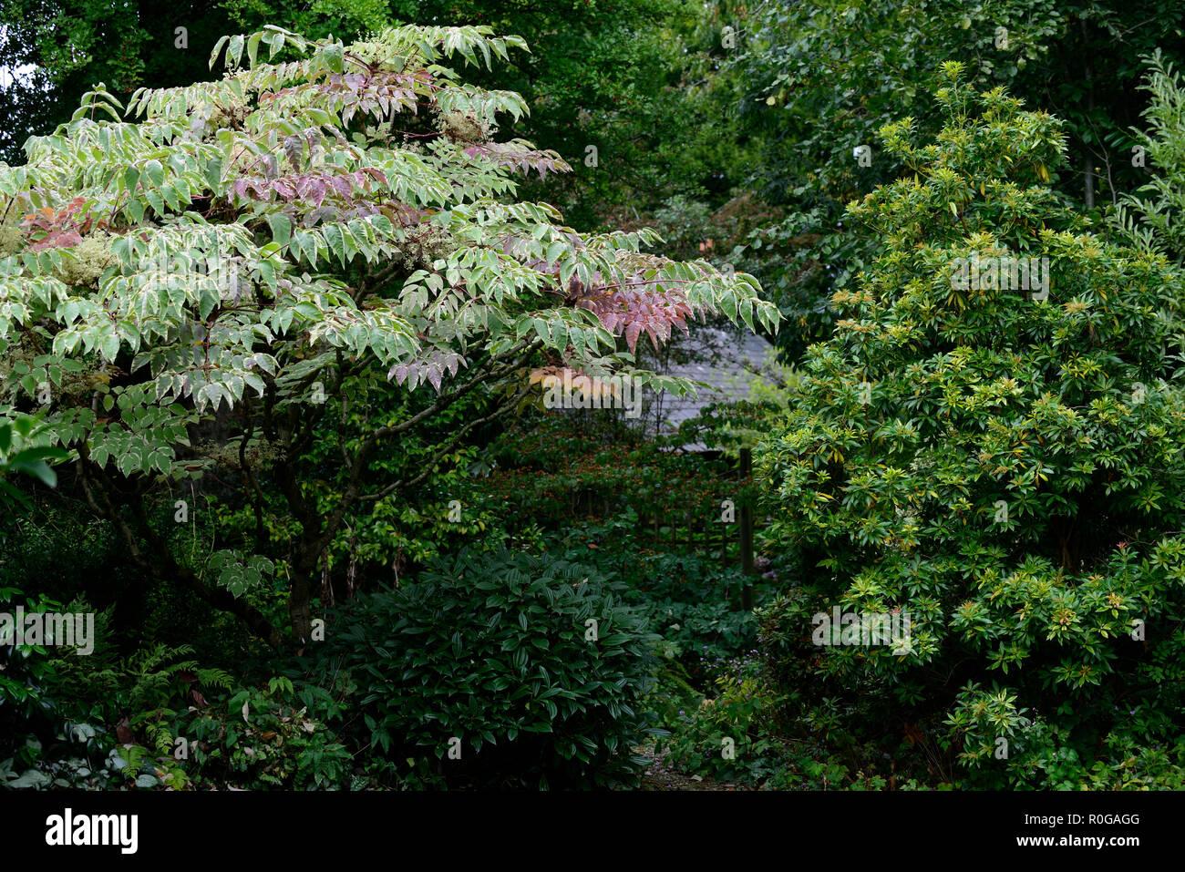 Aralia Elata Chinesische Engelwurz Baum Japanisch Koreanisch