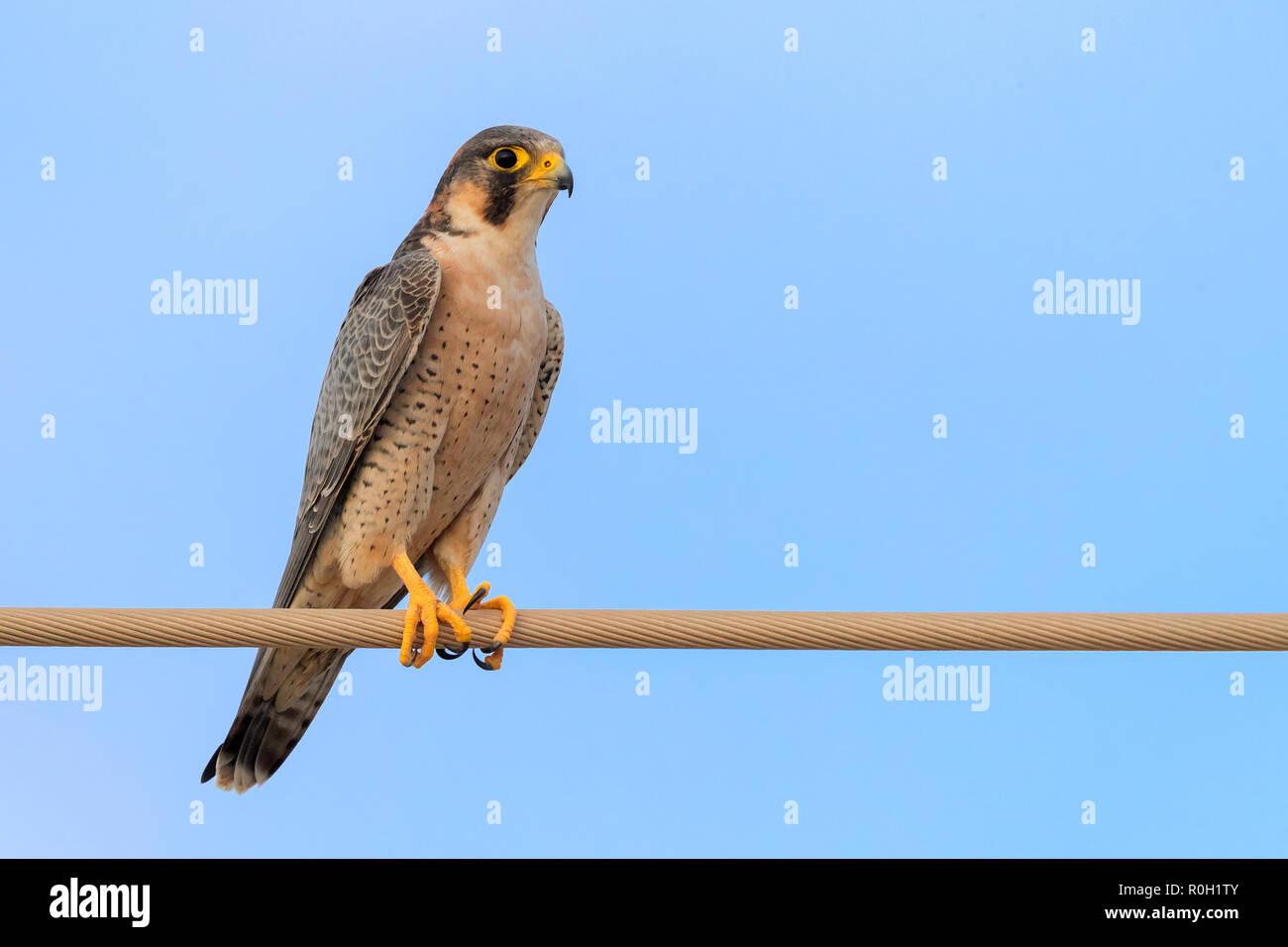Barbary Falcon (Falco pelegrinoides), thront auf einem Draht in Oman Stockbild