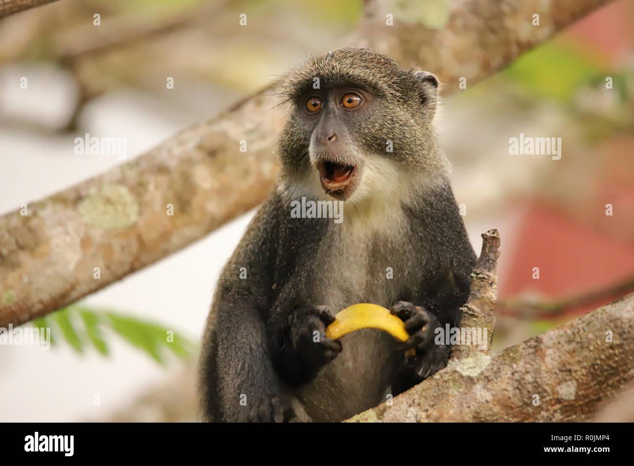 Die sykes Monkey scheint überrascht zu werden. Stockfoto