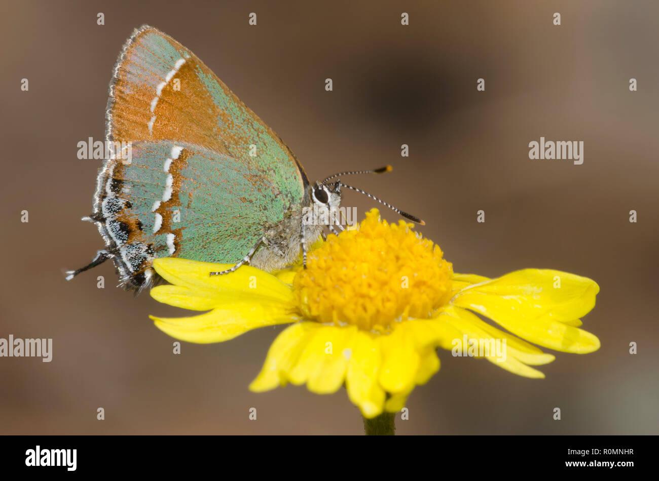 Juniper Hairstreak, Callophrys gryneus, nectaring auf Stemmy vier - nerv Daisy, Tetraneuris scaposa Stockfoto