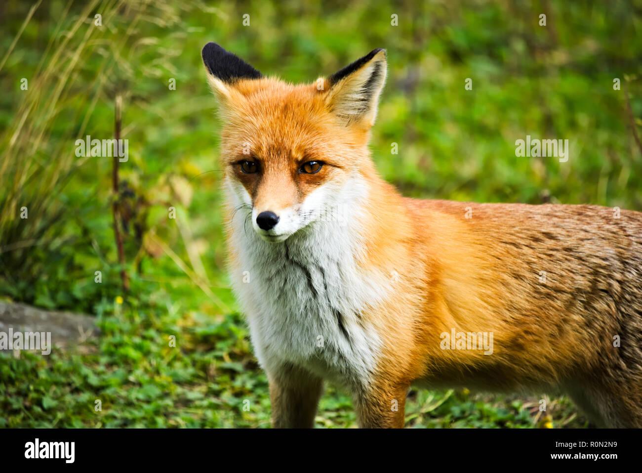 Ständigen Red Fox in einem Clos Stockbild