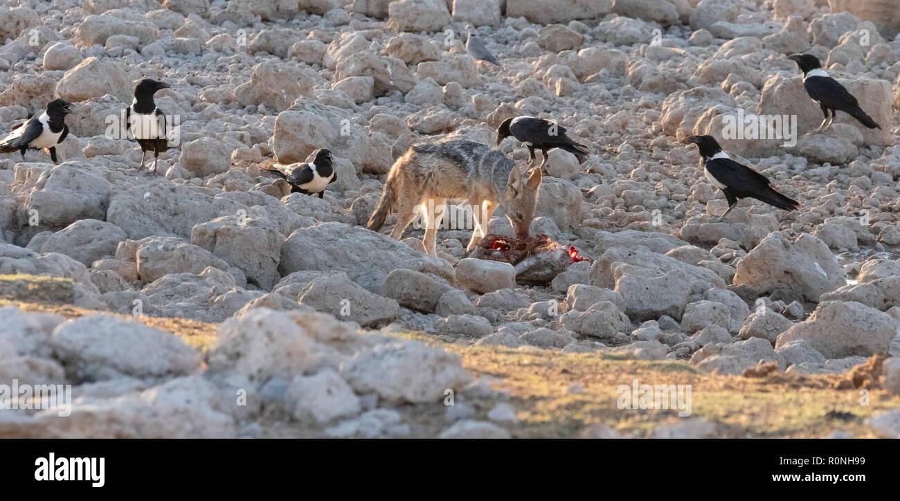 Das Verhalten der Tiere - Eine schwarze Backed Jackal (Canis mesomelas) verteidigt seine Nahrung von den Krähen, Etosha National Park, Namibia, Afrika Stockbild