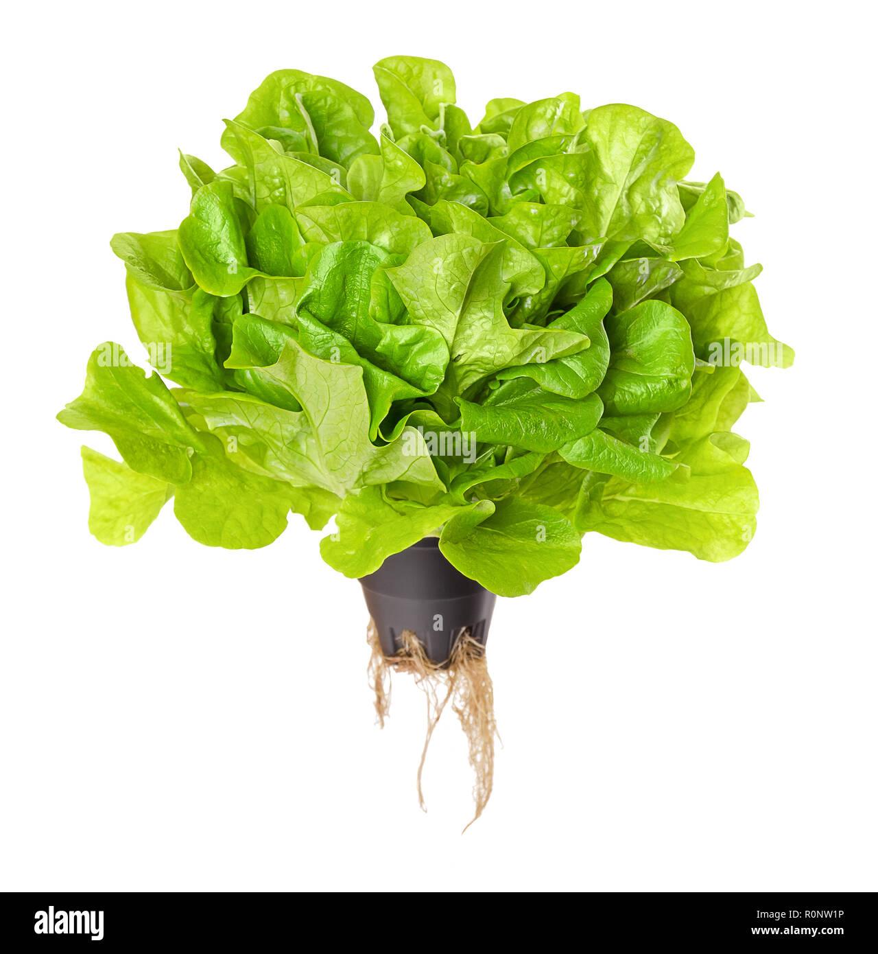 Salanova Salat Grün Leben über Weiß Eichenlaub Kopfsalat In