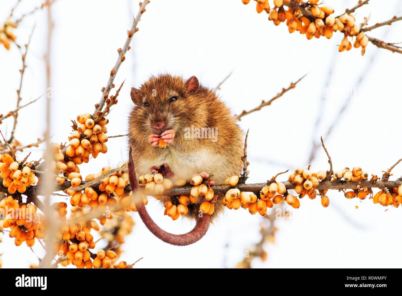 Graue Ratte Im Winter Isst Gelben Beeren Sitzen Auf Einem Ast Der