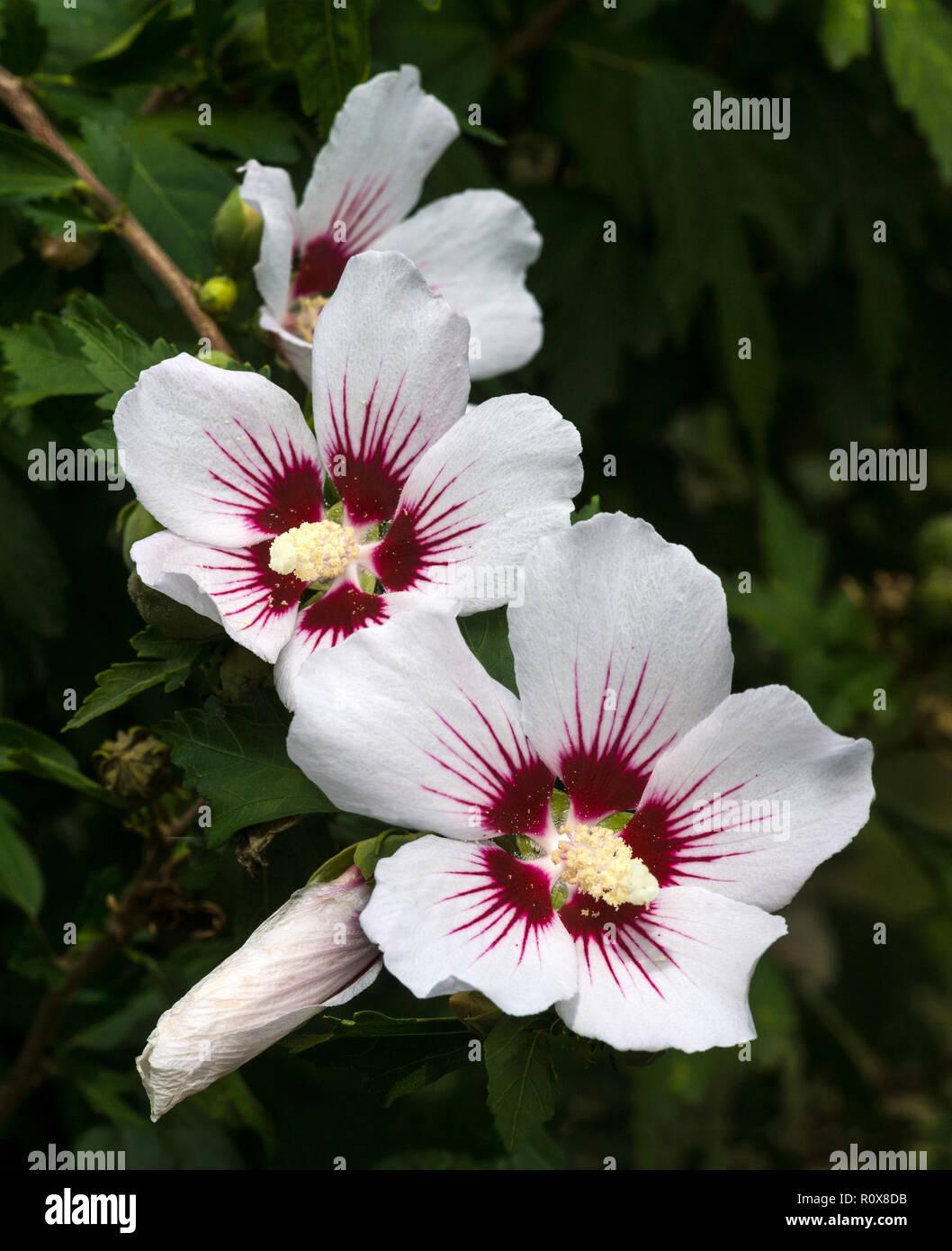Blumen Der Hardy Hibiskus Hibiscus Syriacus Cv Rotes Herz
