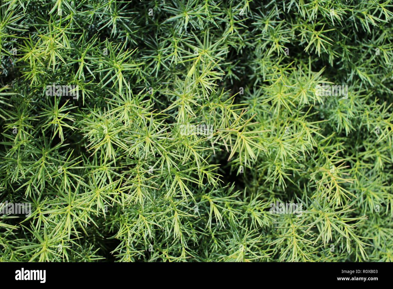 Detaillierte Christmas tree branches Hintergrund Stockbild