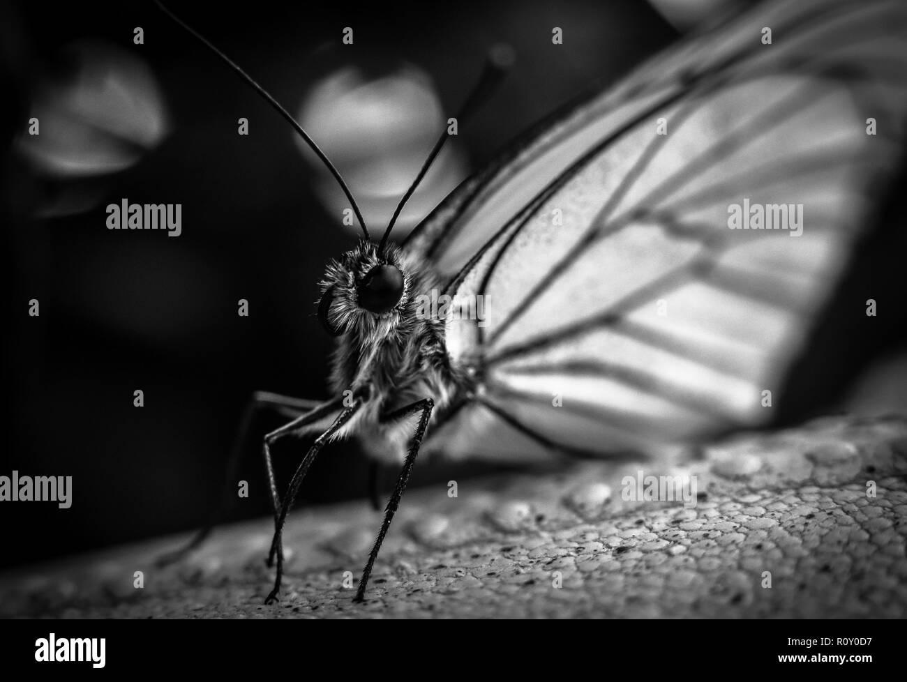 Butterfly mit großen weißen Flügel - B&W Stockbild