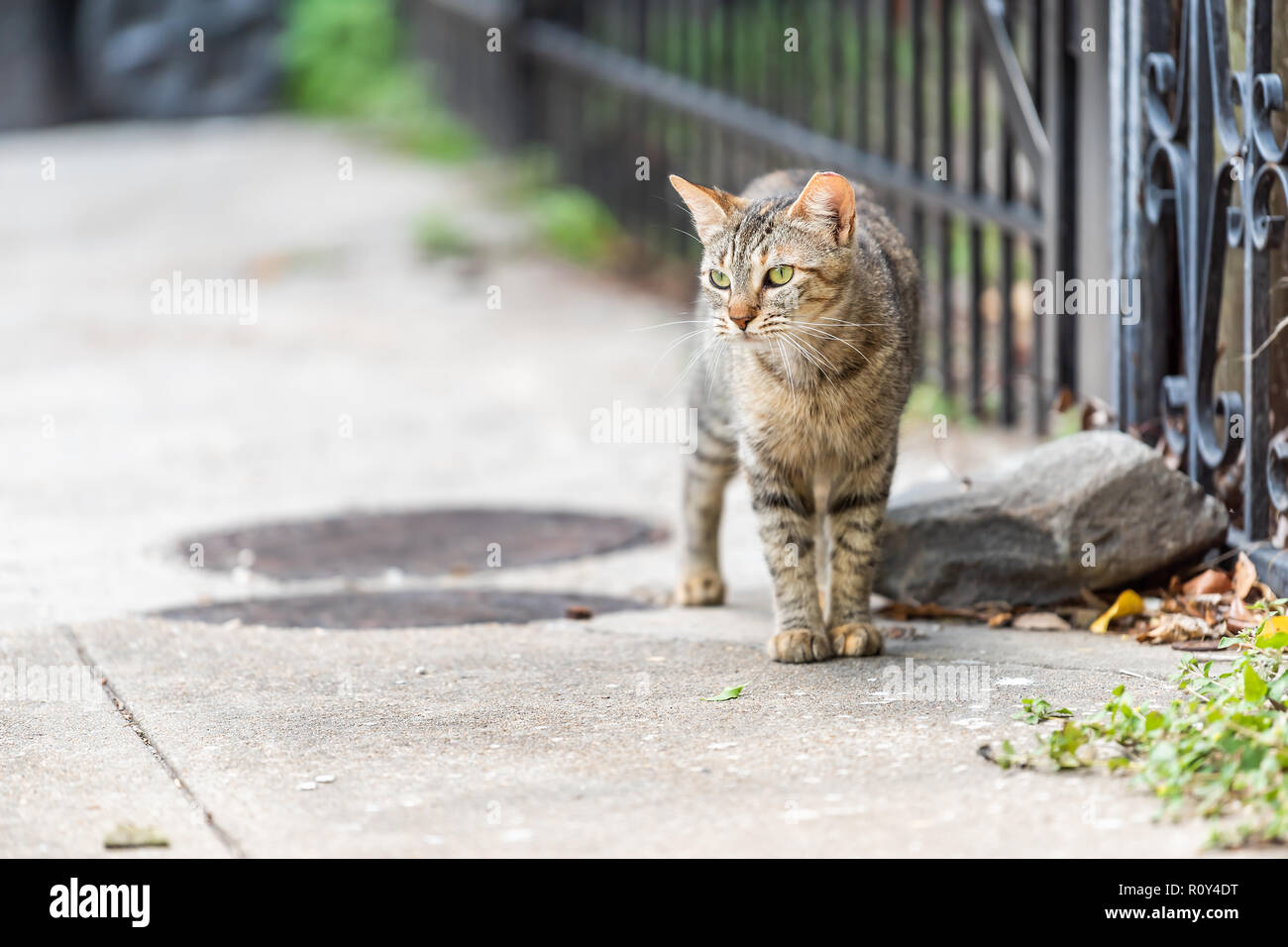 Streunende Katze Katze mit grünen Augen zu Fuß auf dem Bürgersteig Straßen in New Orleans, Louisiana durch Metall Zaun Stockbild