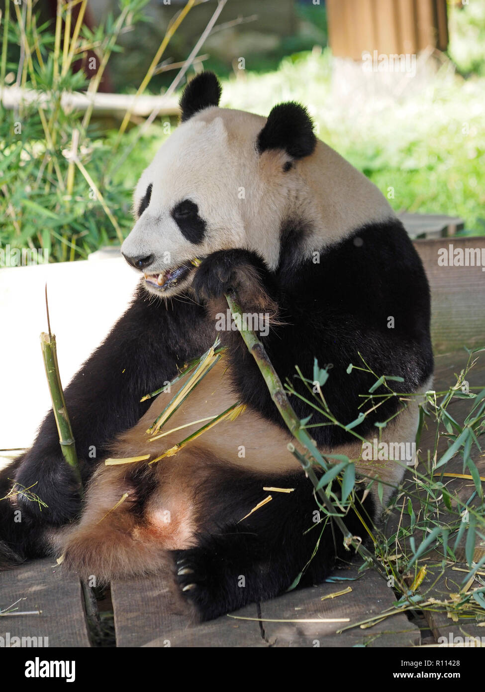 Panda Bar Sitzend Wahrend Bambus Essen Rhenen Zoo Den