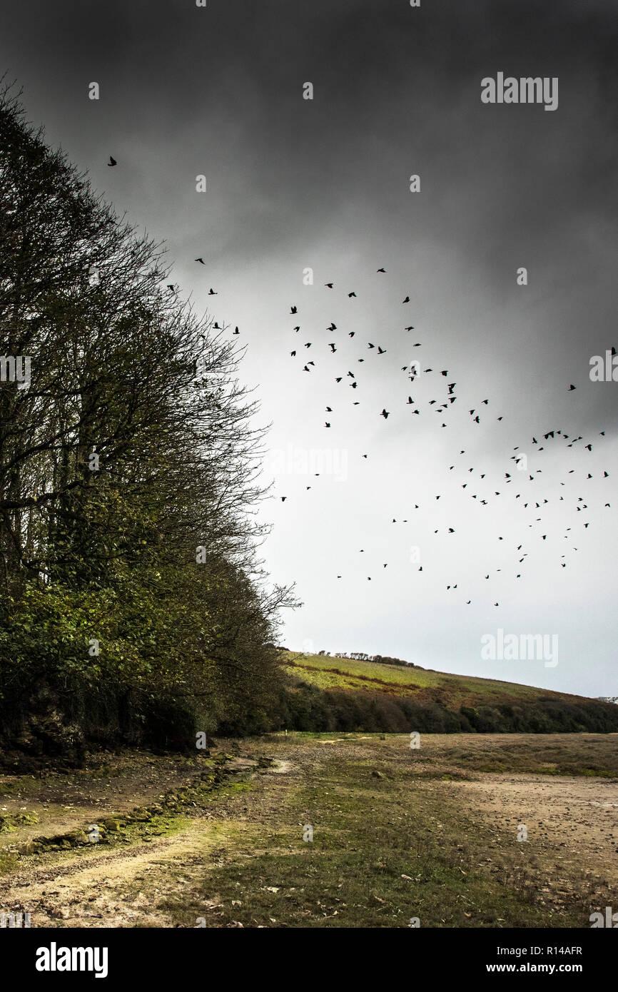 Eine Herde Mord von Krähen über dem gannel Mündung in Newquay Cornwall fliegen. Stockbild