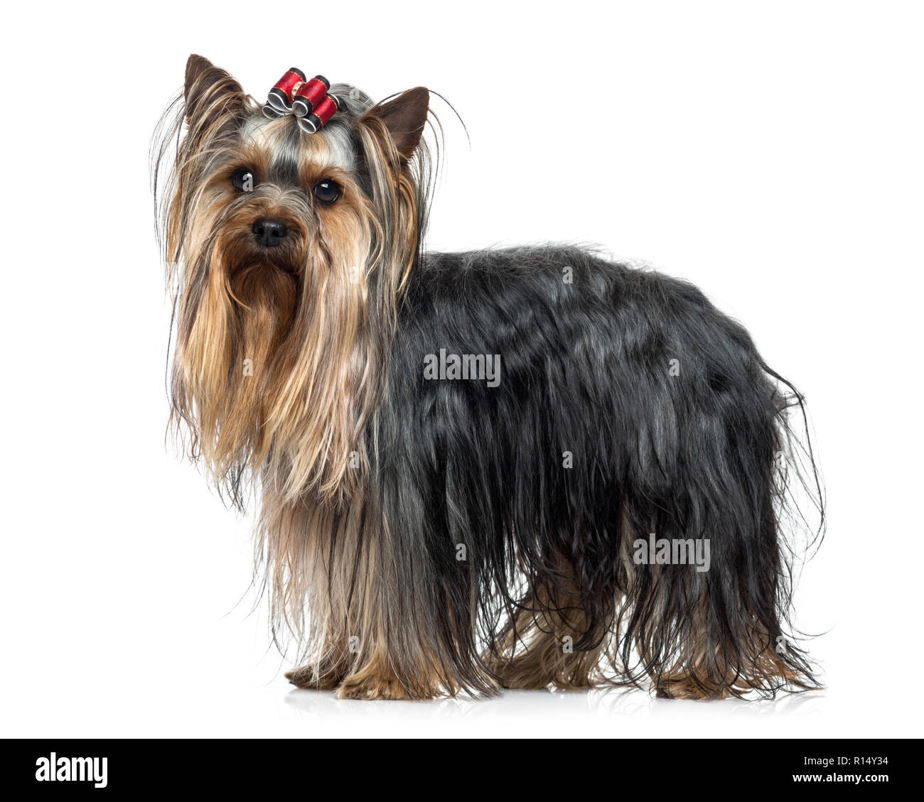 Yorkshire Terrier Dog Side View Stockfotos Yorkshire Terrier Dog