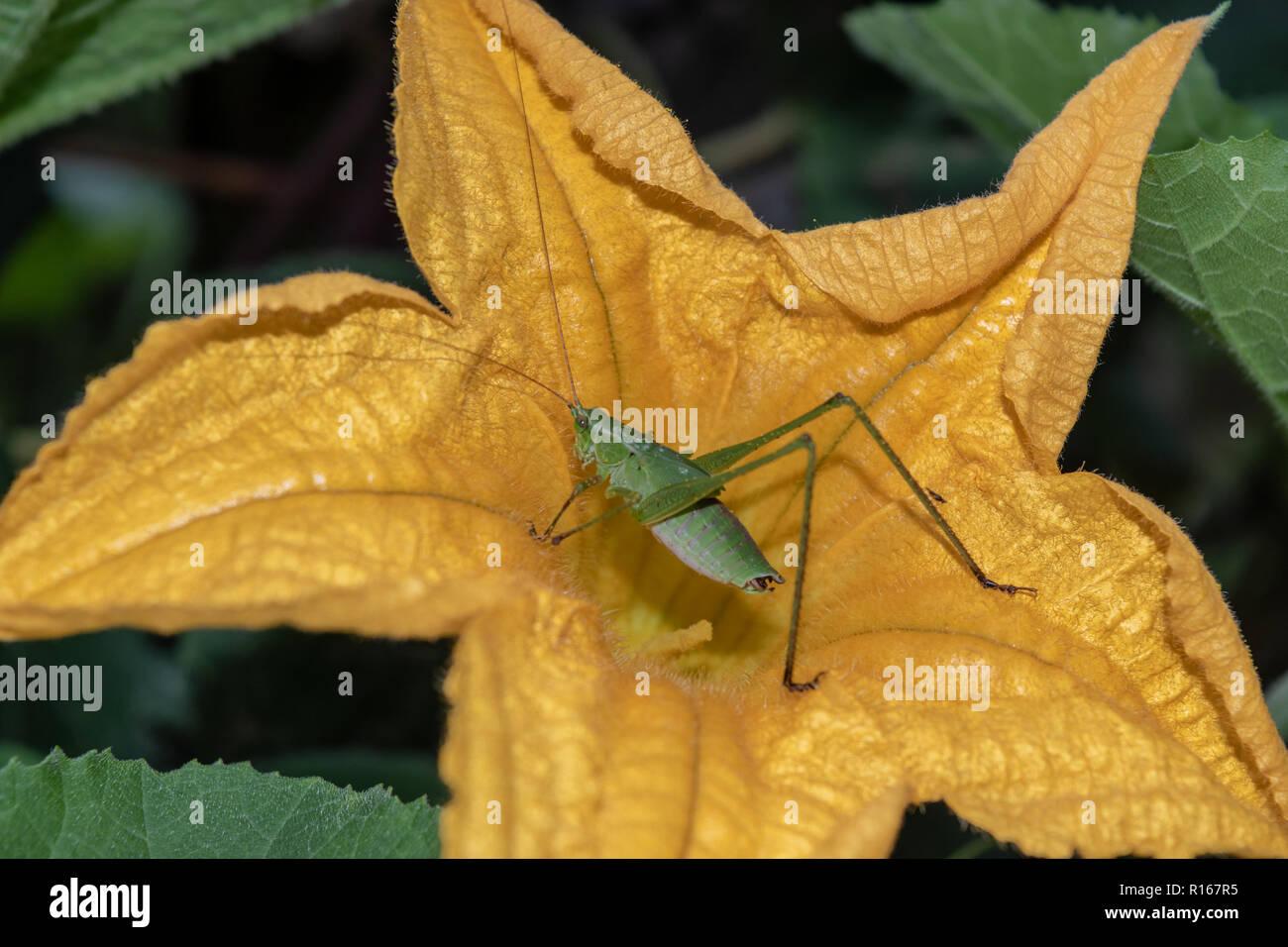 Eine grüne katydid in einem gelben Zucchini Blüte Stockbild