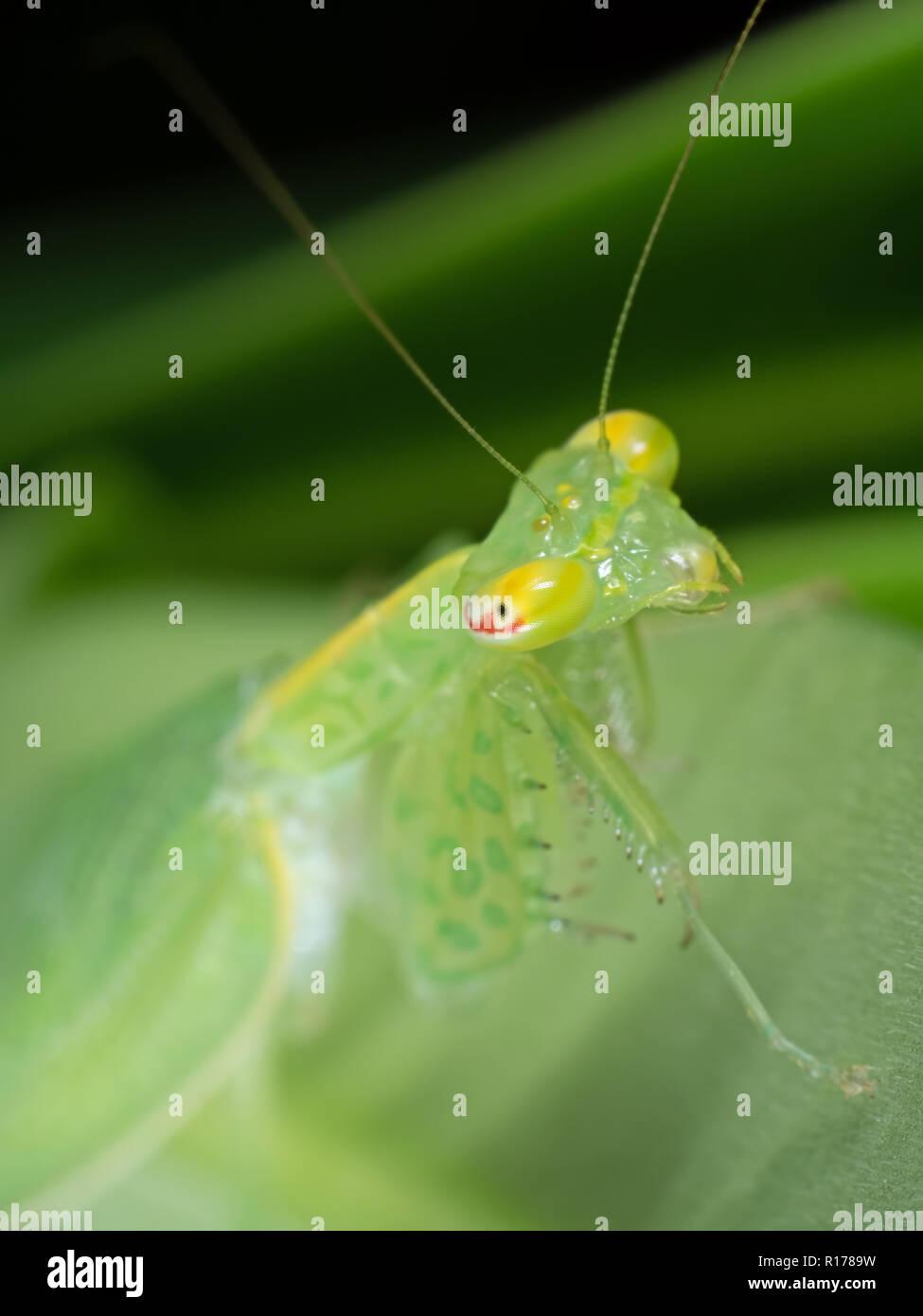 Makrofotografie von Auge der Gottesanbeterin auf grünem Blatt Stockbild