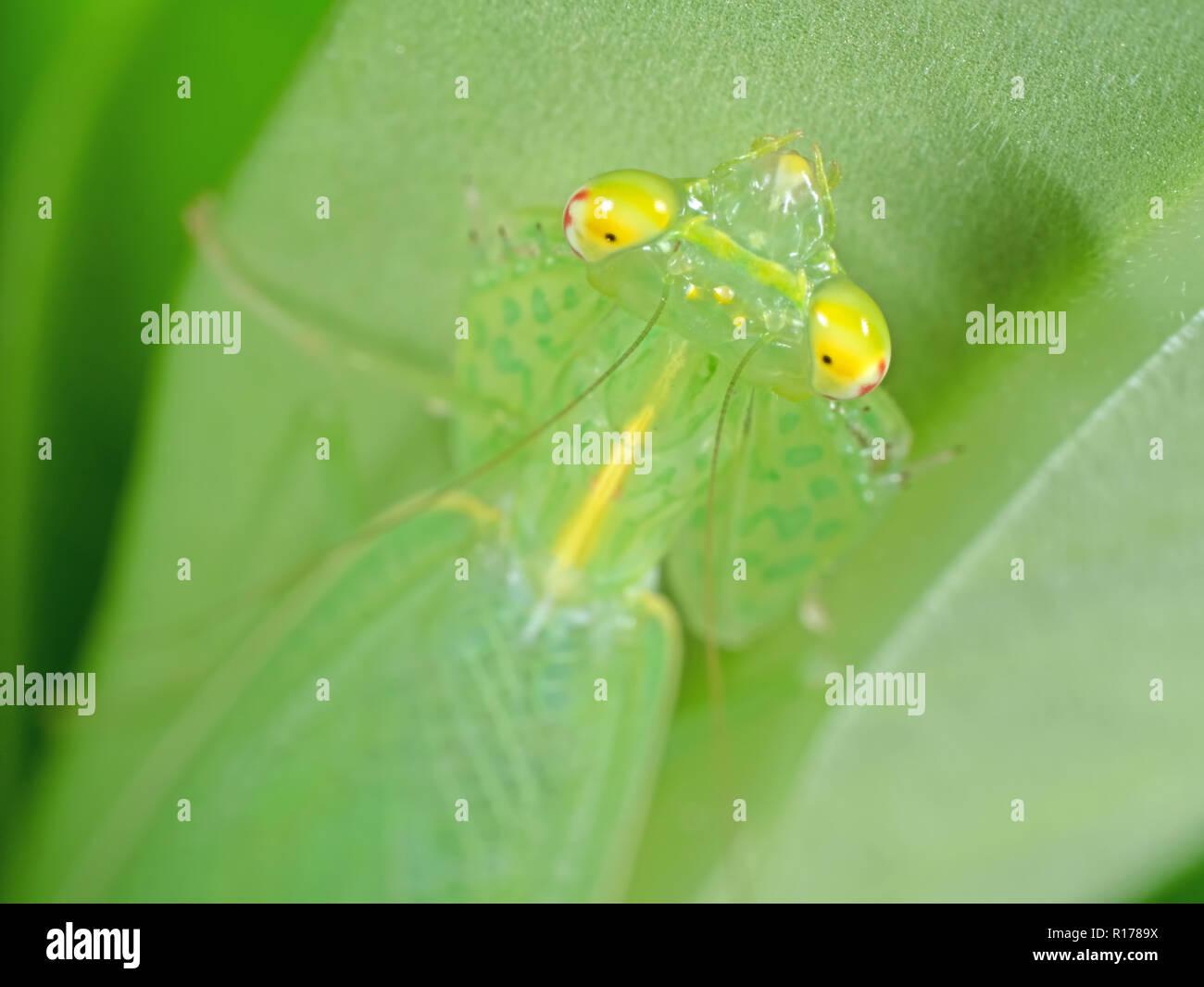 Makrofotografie der Leiter der Gottesanbeterin auf grünem Blatt Stockbild