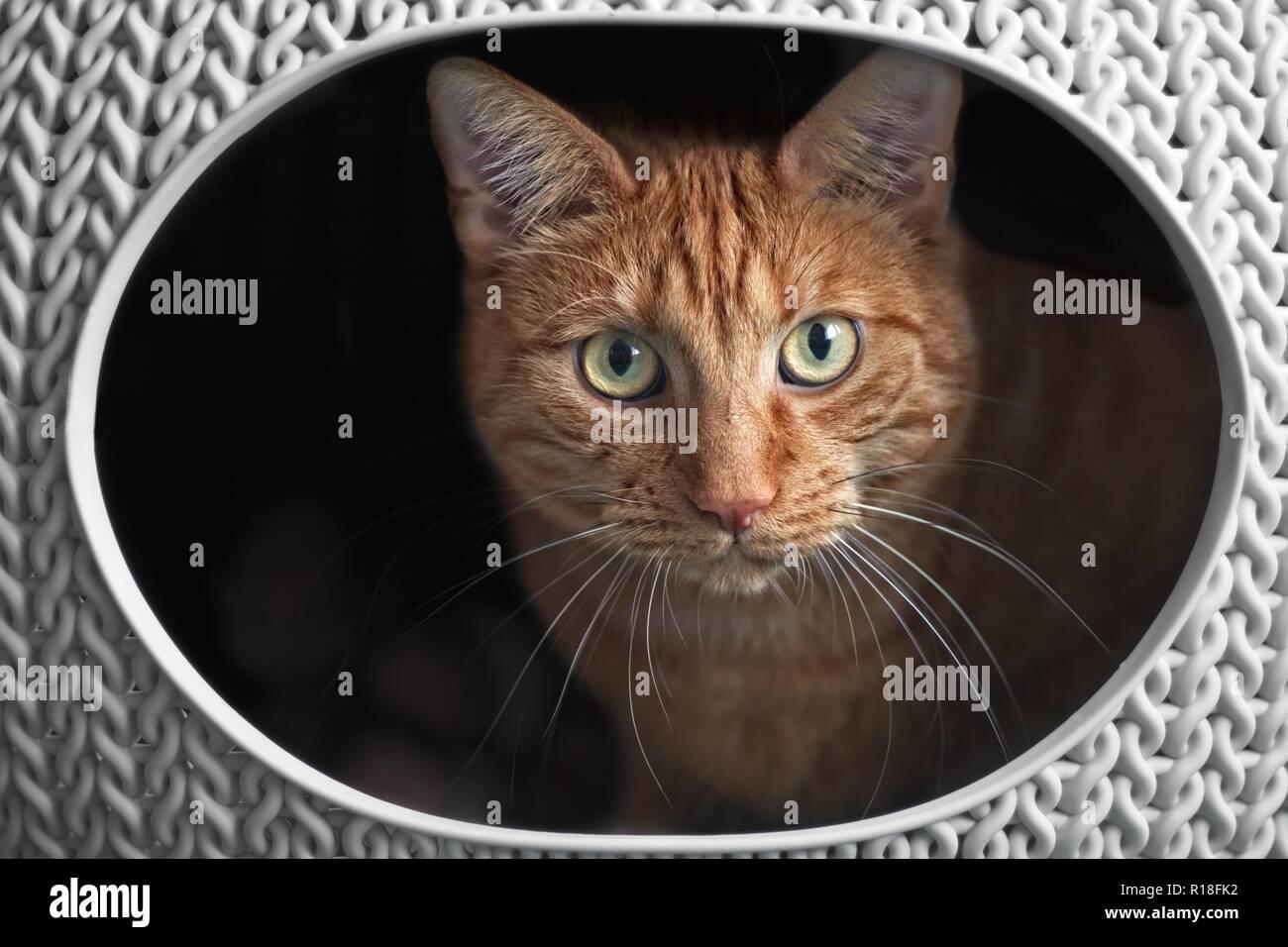Ingwer süße Katze in einem katzenkorb schauen neugierig in die Kamera.. Stockbild