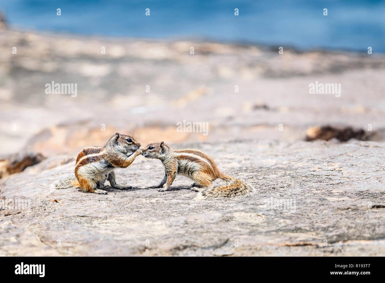 Barbary Eichhörnchen (streifenhörnchen) in Fuerteventura, Kanarische Inseln Stockbild
