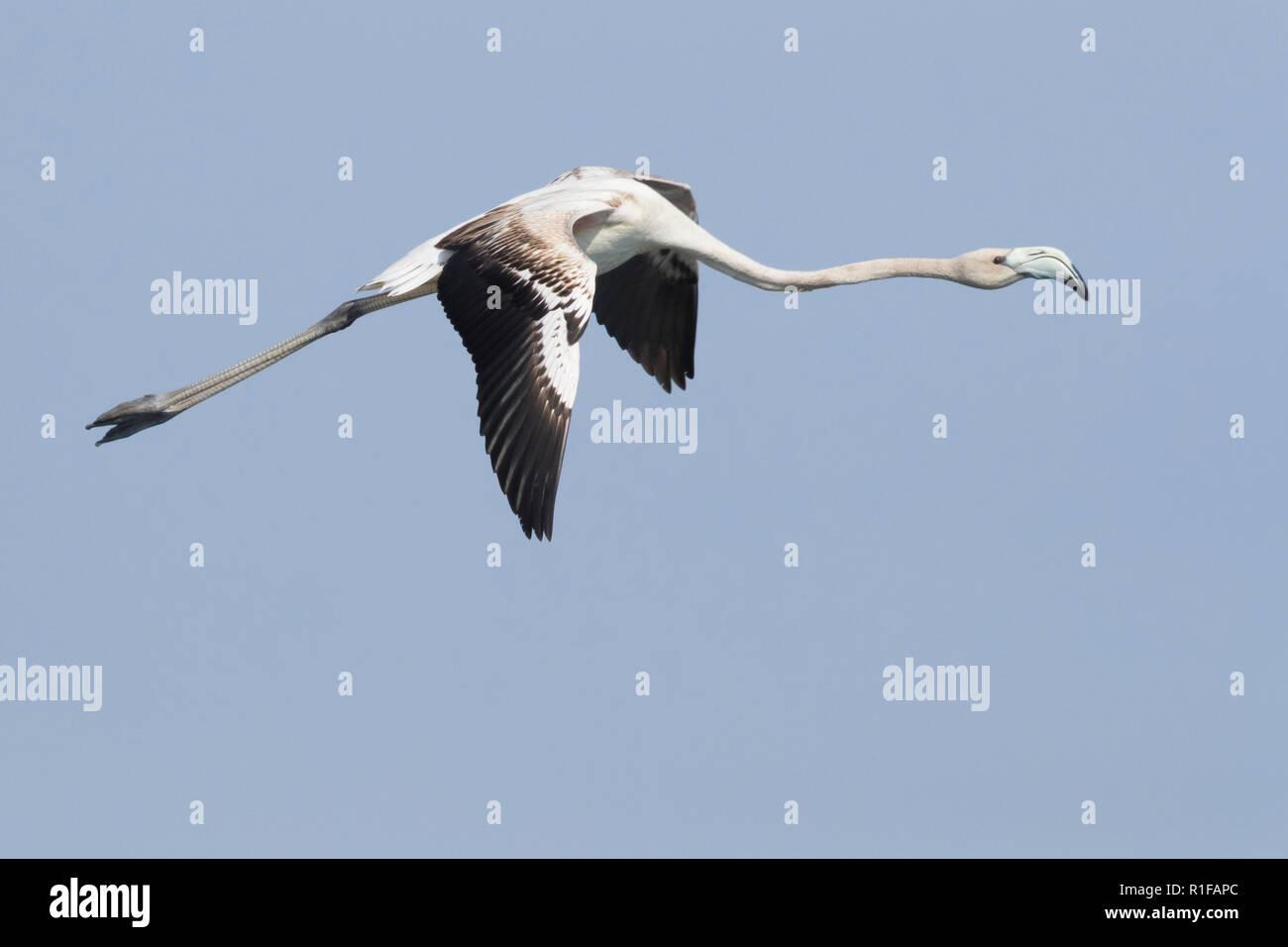 Mehr Flamingo (Phoenicopterus Roseus), juvenile im Flug Oberseite angezeigt Stockbild