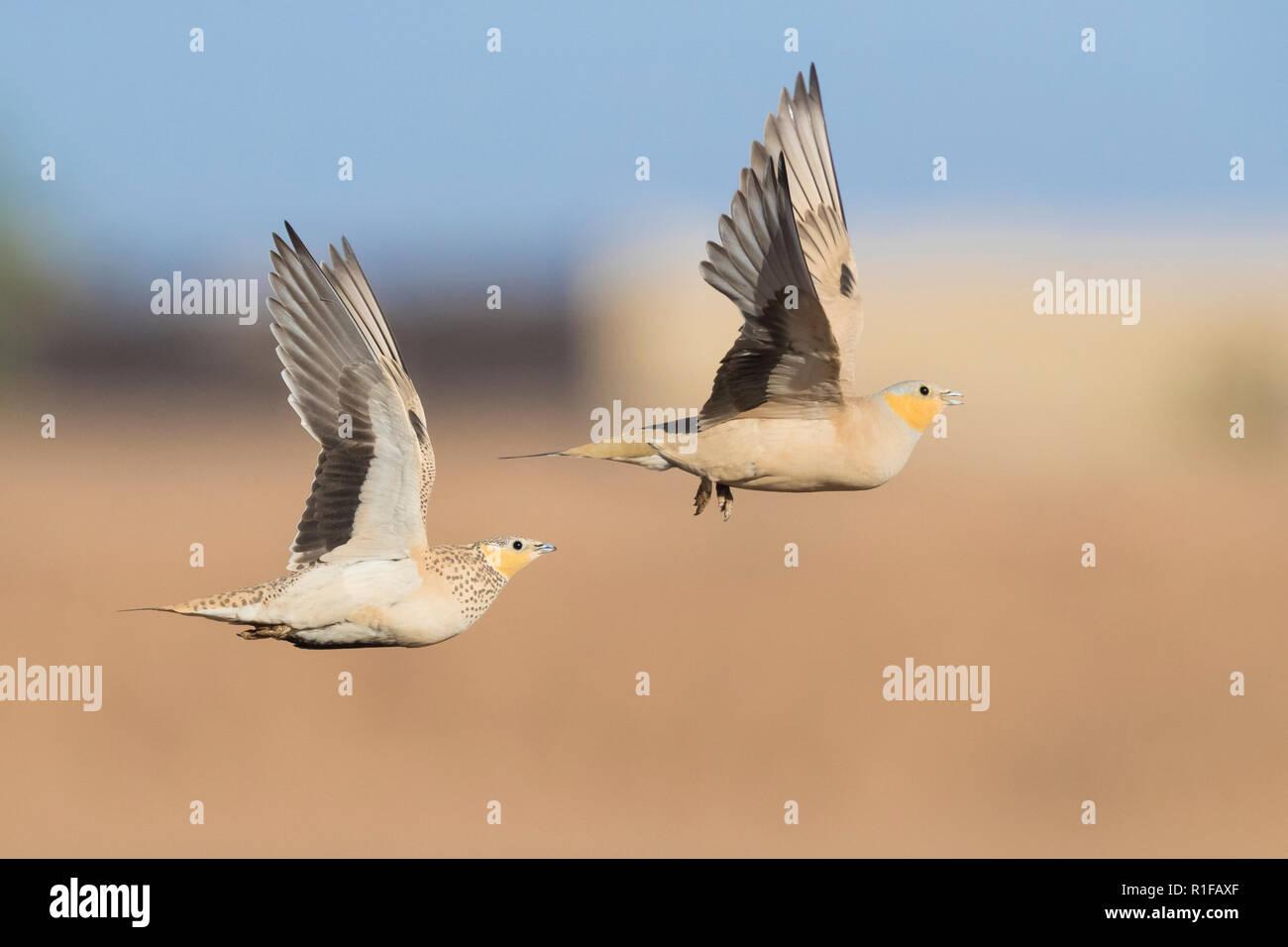 Gefleckte Sandgrouse (Pterocles senegallus), ein Männchen und ein Weibchen im Flug Stockbild