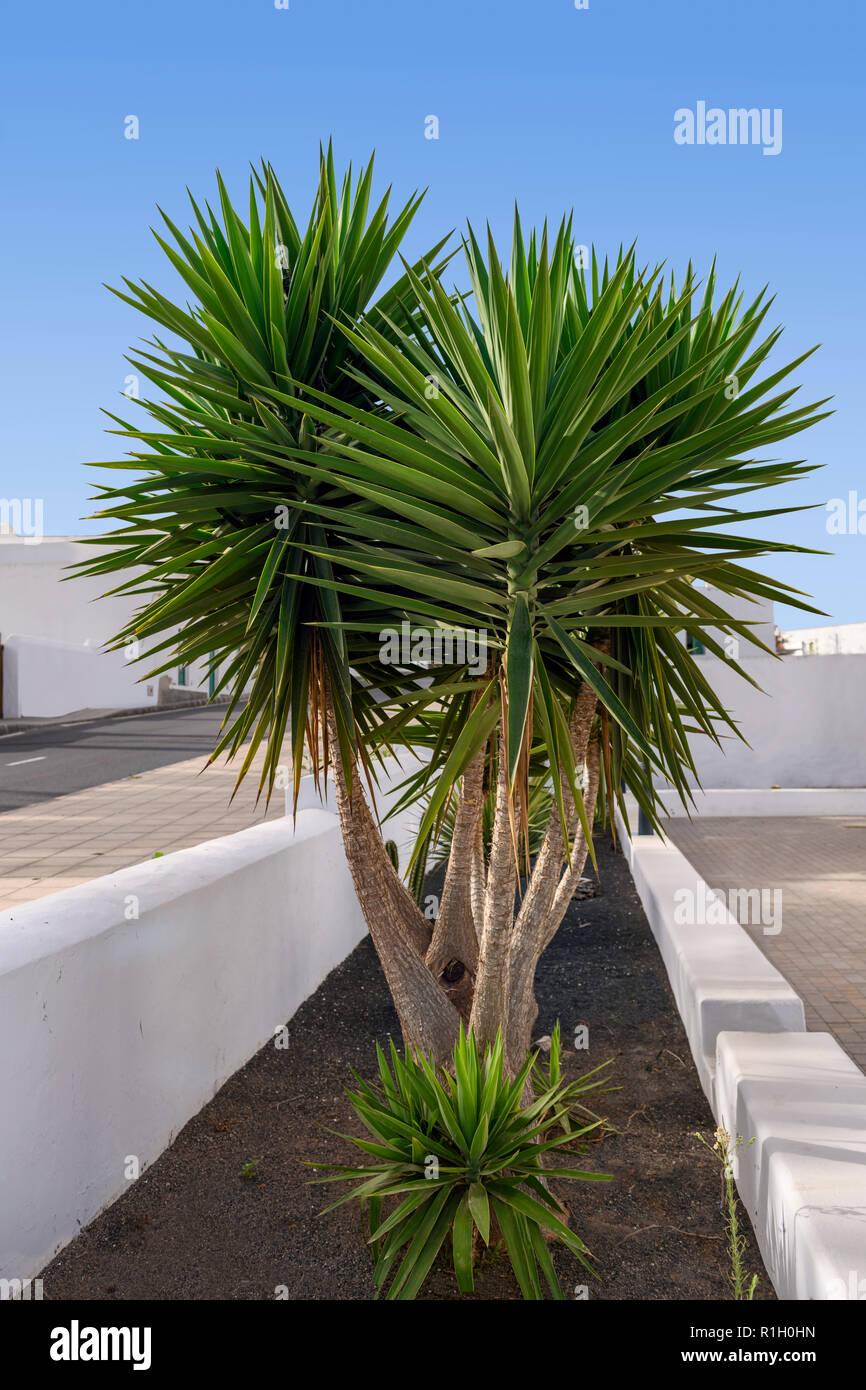 Multi stammte Yucca Plant Yucca aloifolia Spanische Dolch/Bajonett Stockbild