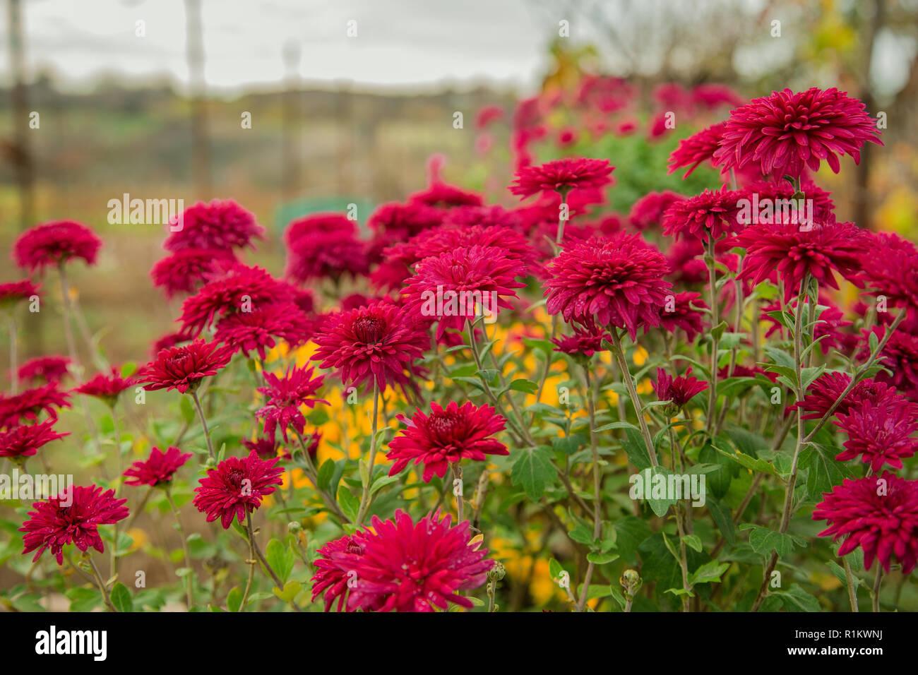 Herbst Blumen Im Garten Wunderschone Chrysanthemen Im