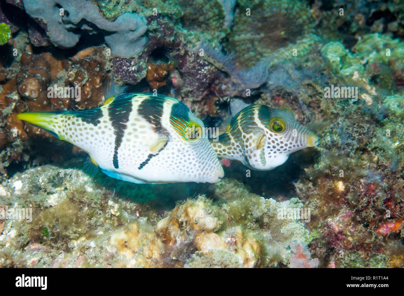 Schwarz - gesattelt Toby oder Valentinstag Puffer [Canthigaster Valentini]. Lembeh Strait, Nord Sulawesi, Indonesien. Indo-West Pazifik. Stockfoto