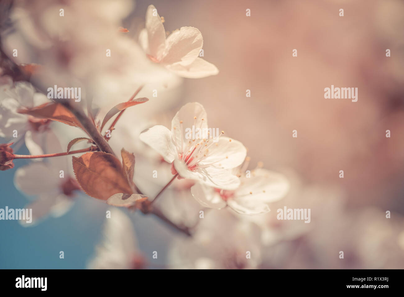 Frühling Kirschblüten blühen, rosa Blüten, Sakura Japanische Blumen Jahreszeit, mit leere Kopie Raum Stockfoto