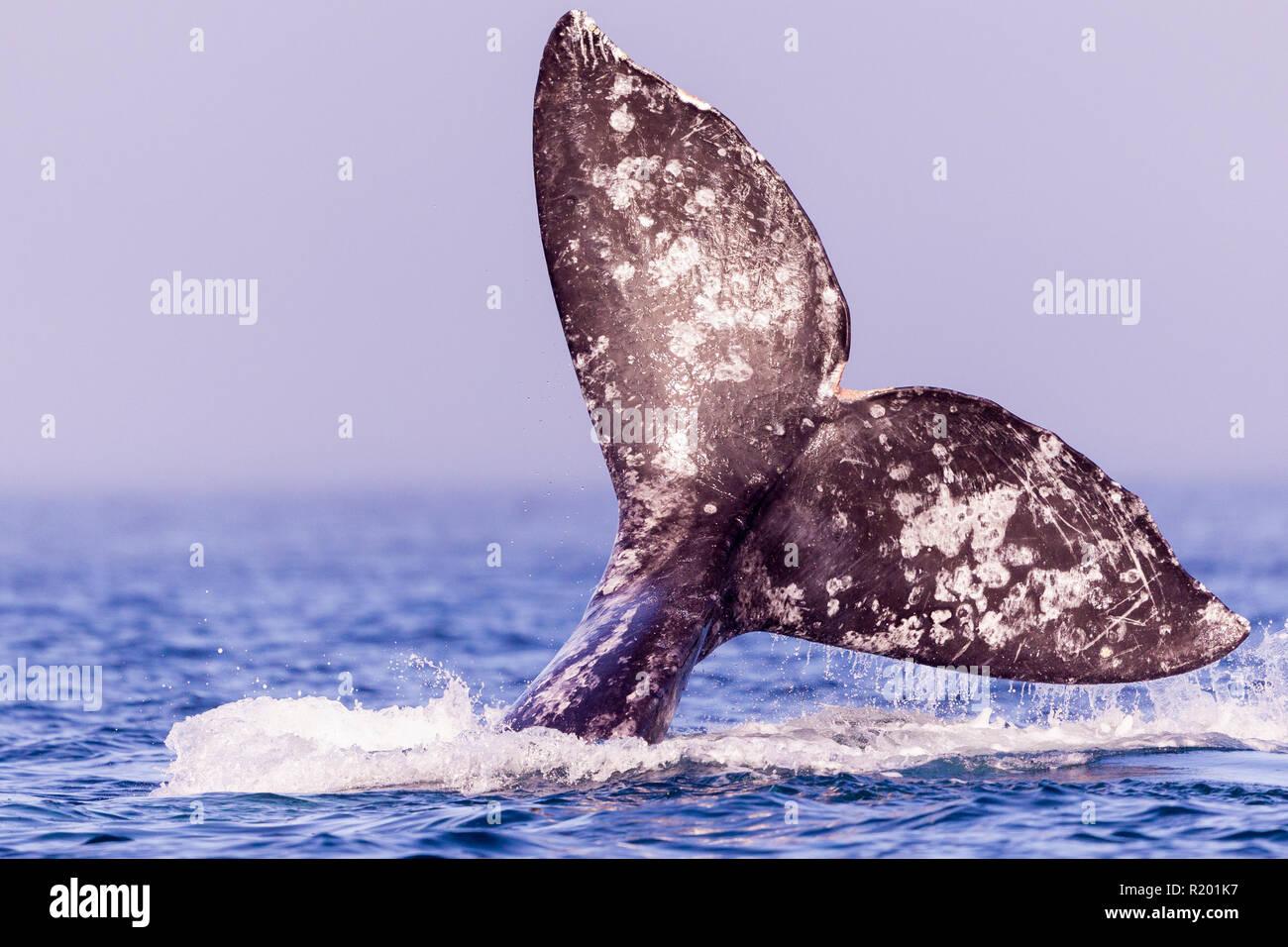 Grauwale, Grauwale (Eschrichtius robustus), Fluke Schwanz mit Marken, die Kennzeichen der einzelnen Wal. Stockbild