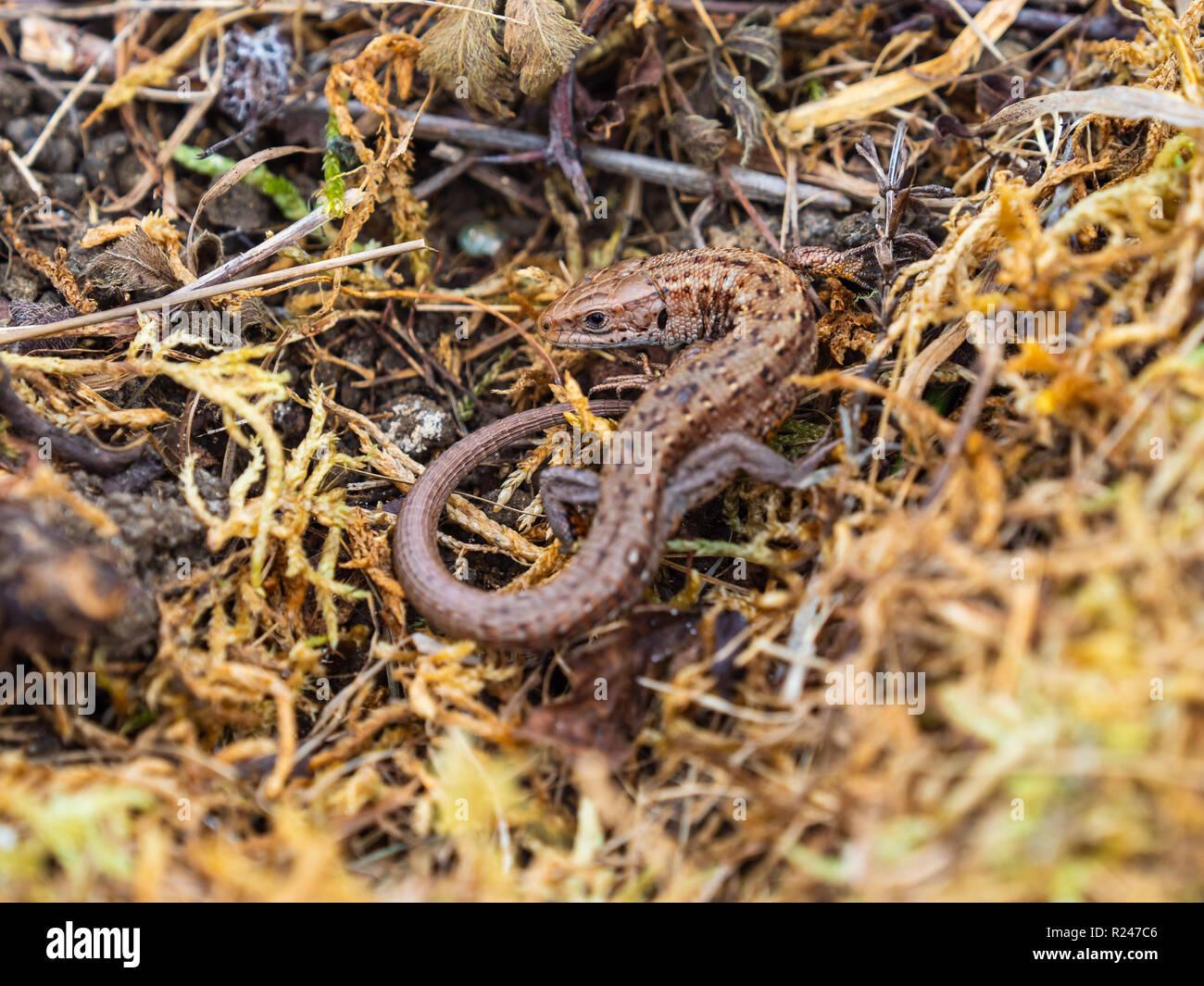 Gemeinsame Eidechsen (Lacerta Zootoca Vivipara) Aalen Stockfoto