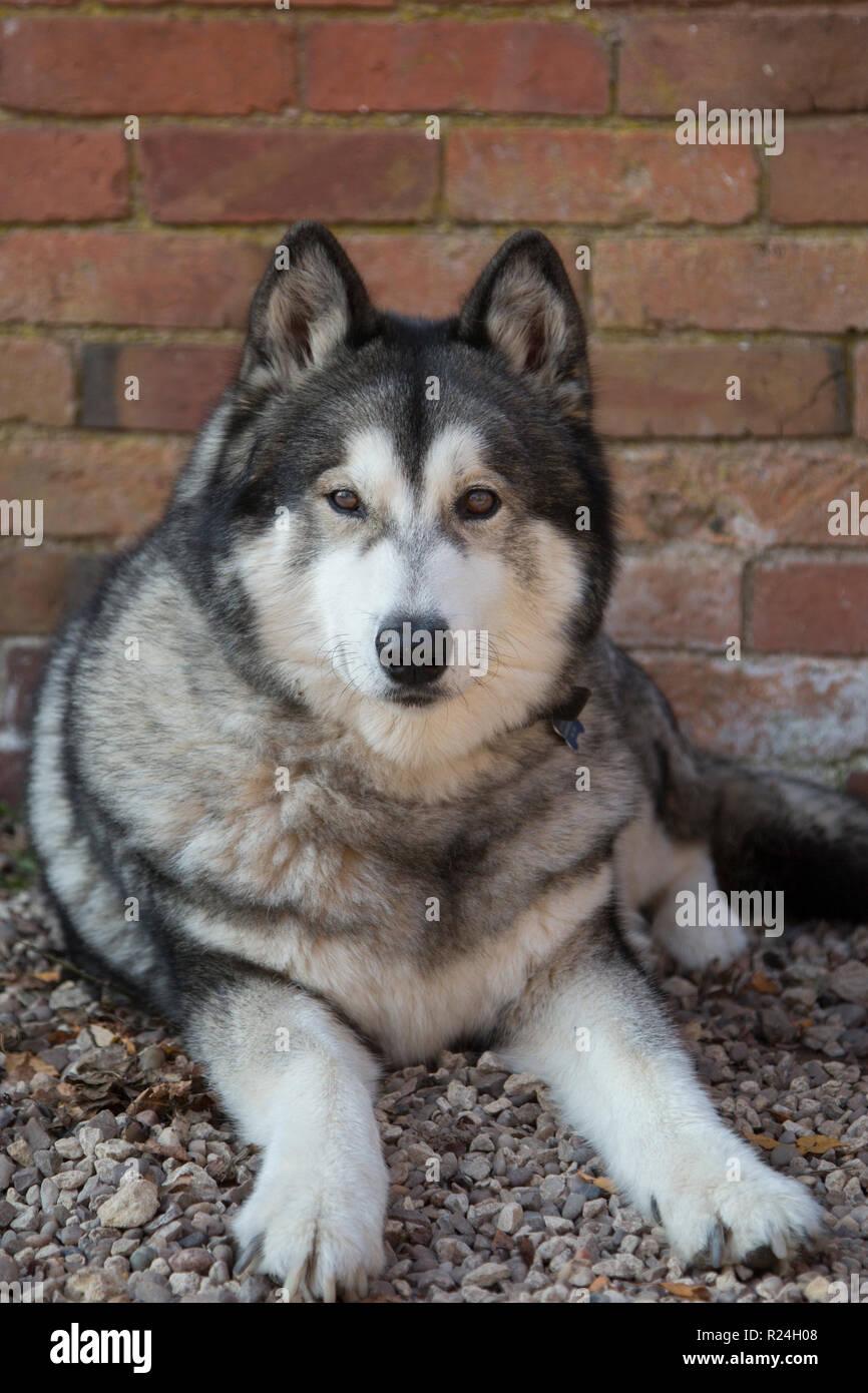 Husky cross Malamute draußen sitzen in einem Innenhof warten auf einen Spaziergang, Wolf farbige vor die Kamera zu gehen Stockbild