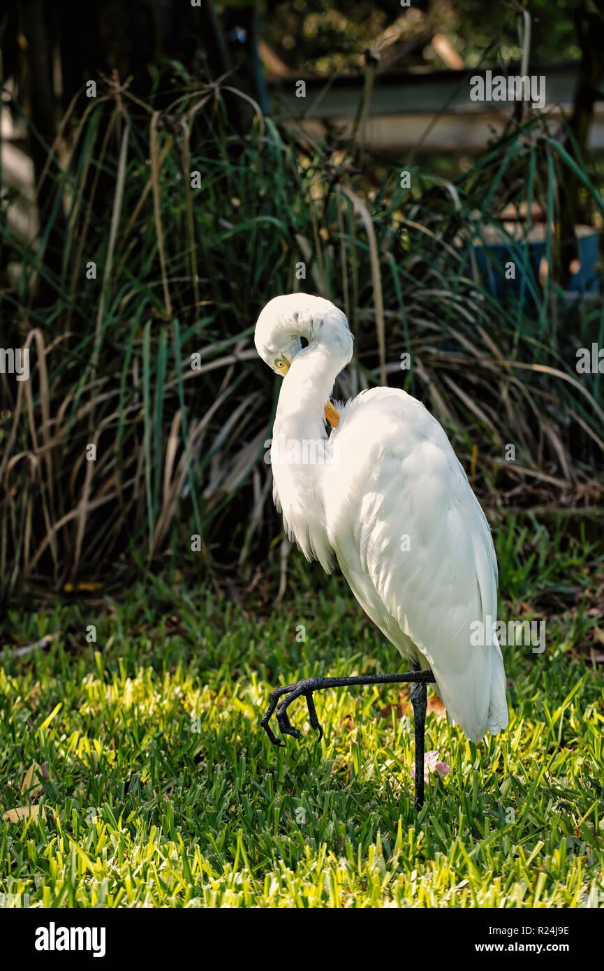 Ornithologie und Freiheit Konzept. Heron oder silberreiher Wandern auf grünem Gras in Key West, USA. Mit weißen Federn und gelbe Schnabel auf die natürlichen Hintergrund Vogel. Tier- und Pflanzenwelt und Natur. Stockbild