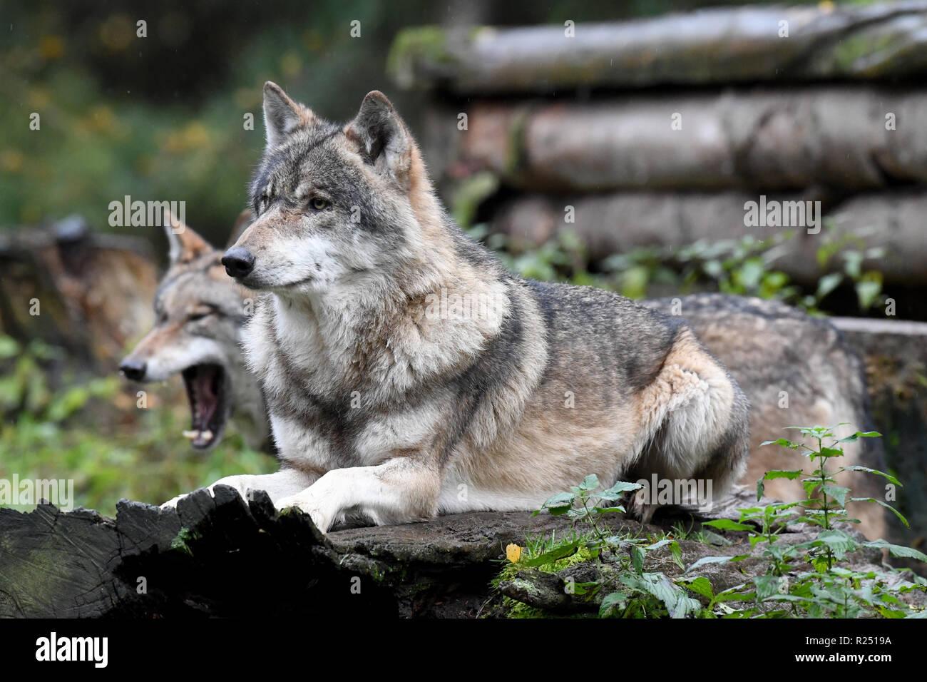 13. November 2018, Schleswig-Holstein, Großenaspe: Wölfe in ihrem Gehege im Wildpark Eekholt. Foto: Carsten Rehder/dpa Stockbild
