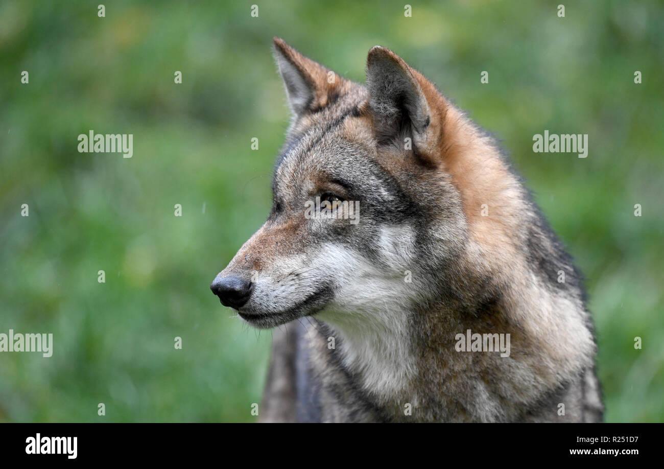 13. November 2018, Schleswig-Holstein, Großenaspe: ein Wolf in seinem Gehäuse im Wildpark Eekholt. Foto: Carsten Rehder/dpa Stockbild