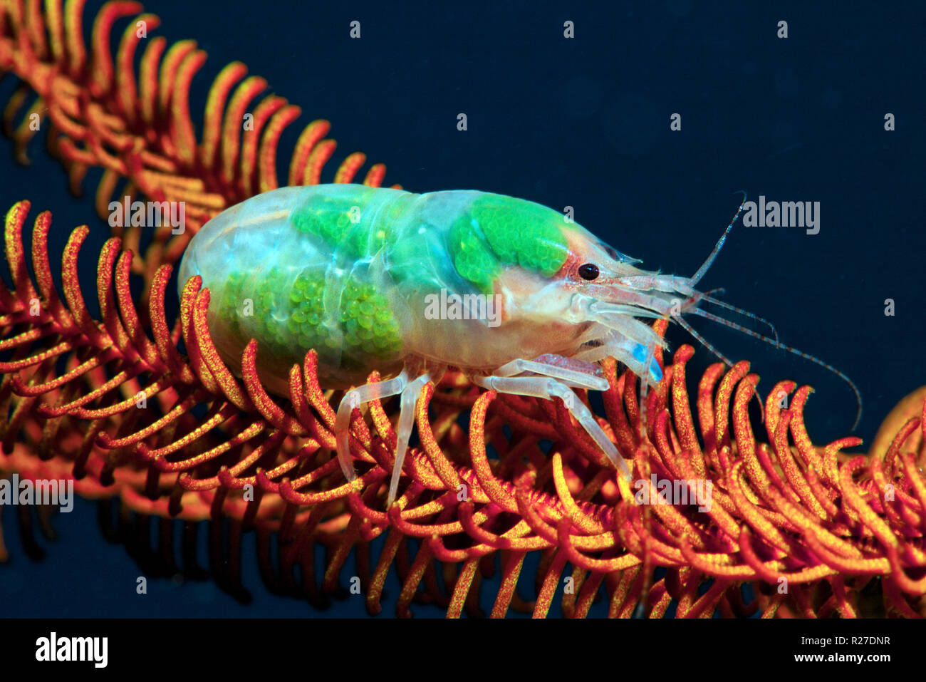 Carinate snapping Shrimp (Synalpheus carinatus) mit Eier auf einem haarstern, Walindi Papua-Neuguinea Stockbild