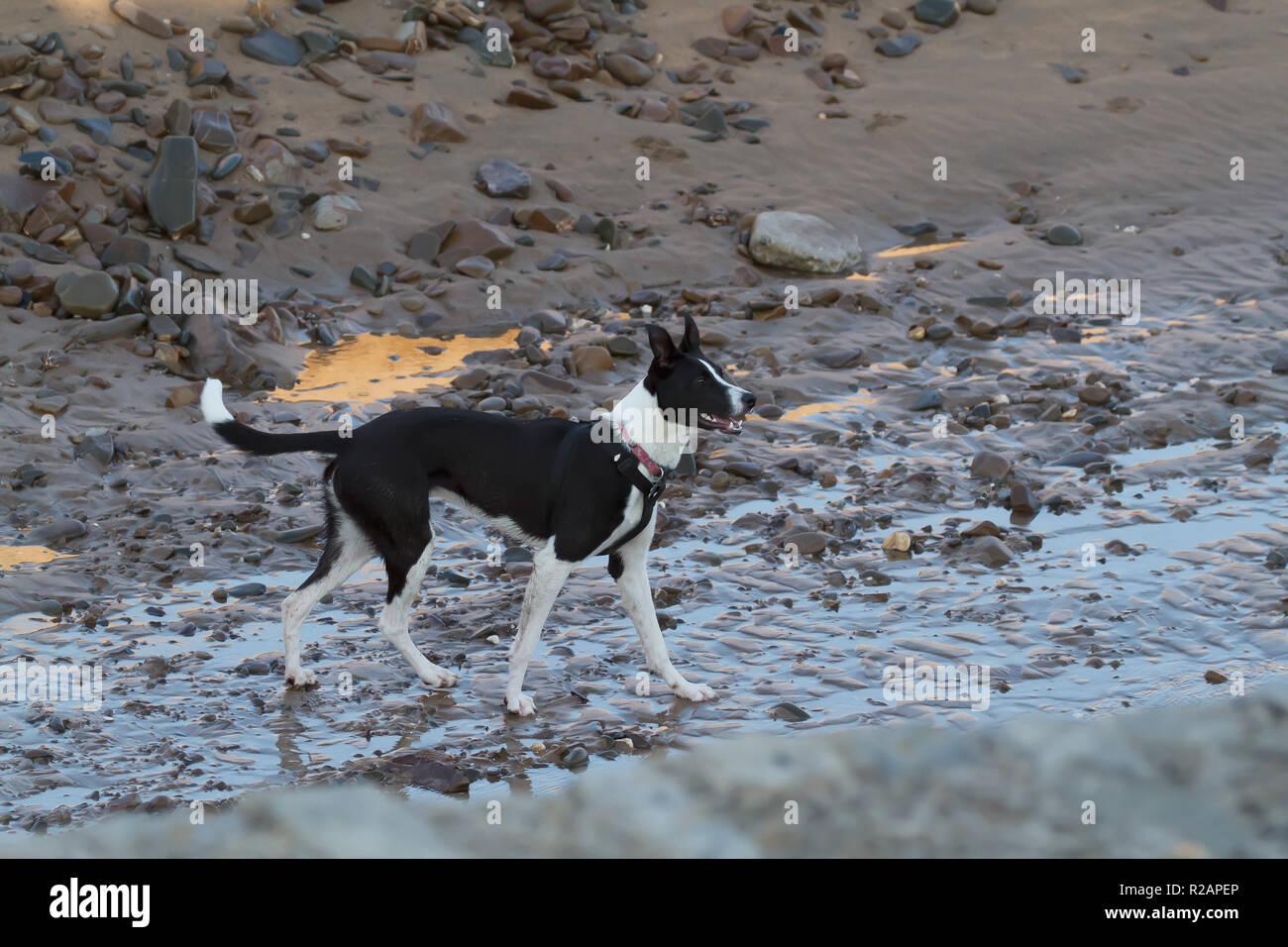 Cornwall, UK. Nov 2018 18. Ein Hund am Strand spazieren in Bude, Cornwall. Credit: Keith Larby/Alamy leben Nachrichten Stockfoto