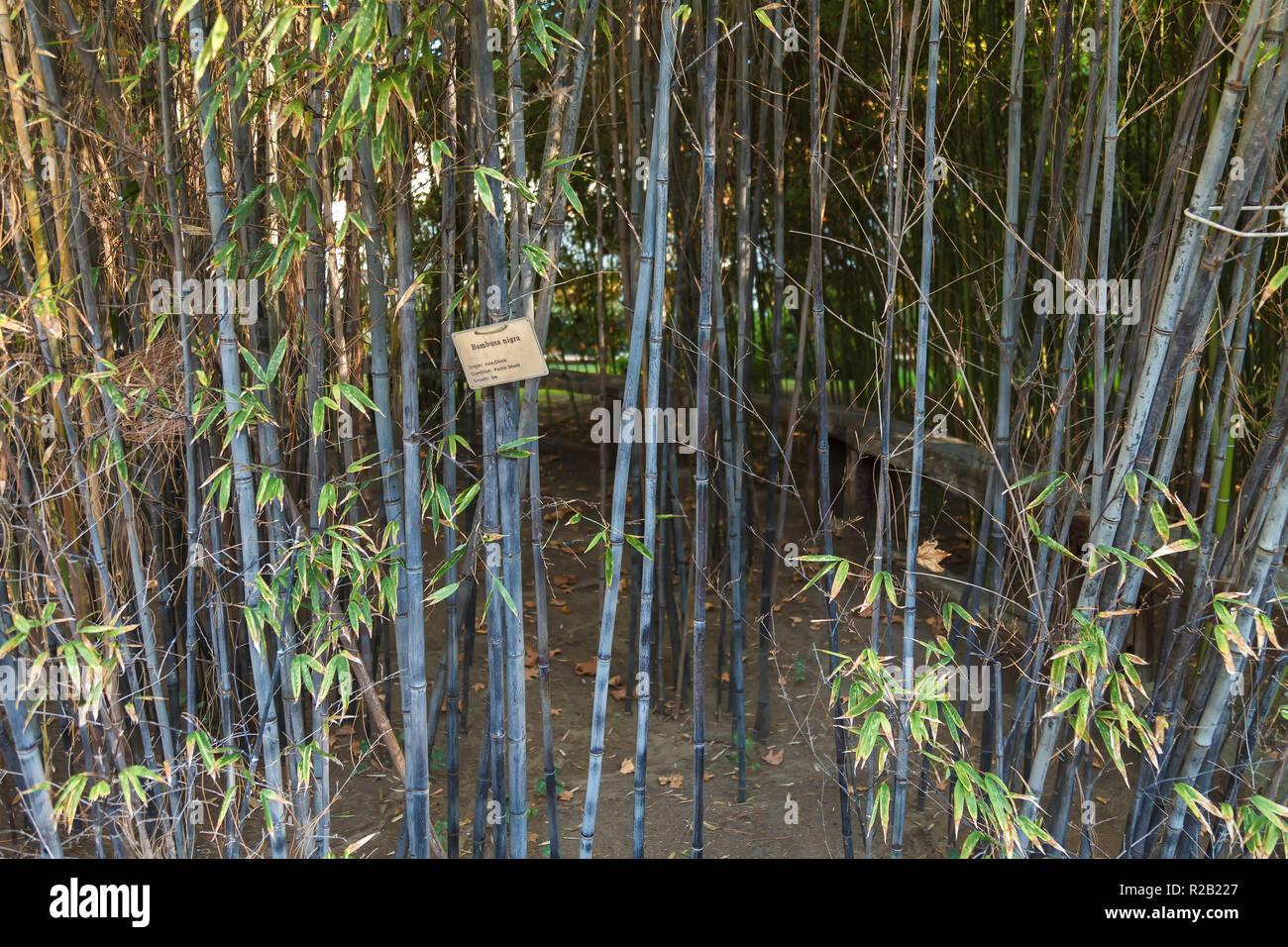 Dicke Dickicht Der Jungen Bambus Landschaft Stockfoto Bild