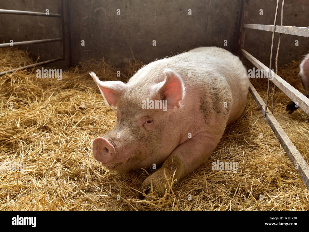 Wildschwein in Komfort, Stroh gebettet uns Pen scrofa domesticus'. Stockbild