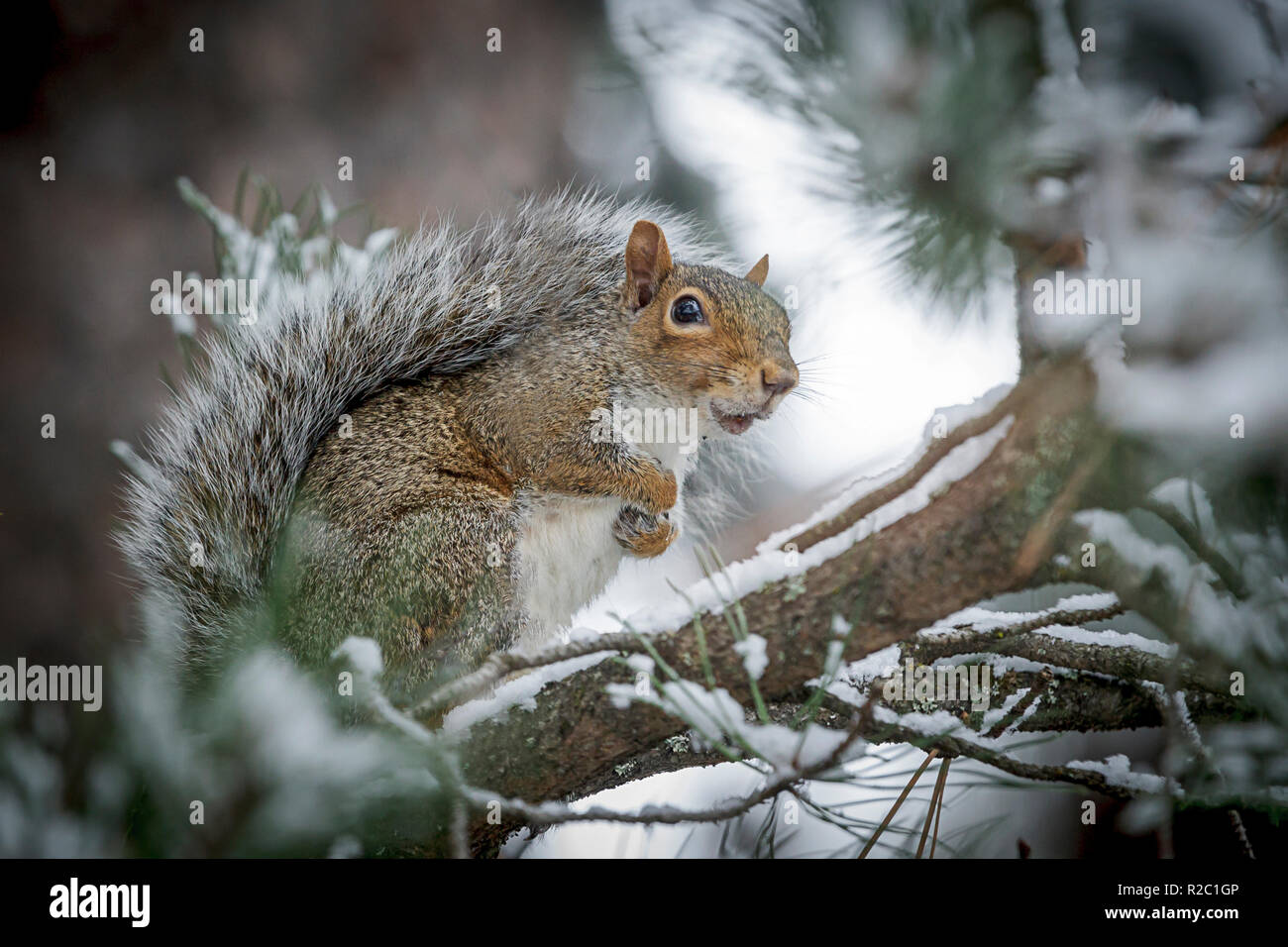 Grey Squirrel In Winter On Tree Stockfotos Grey Squirrel In Winter