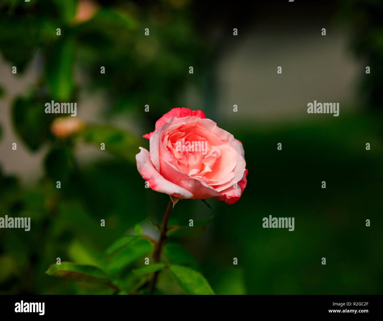 big rose auf gr n mit dunklem hintergrund natur makro herbst foto stockfoto bild 225324807. Black Bedroom Furniture Sets. Home Design Ideas