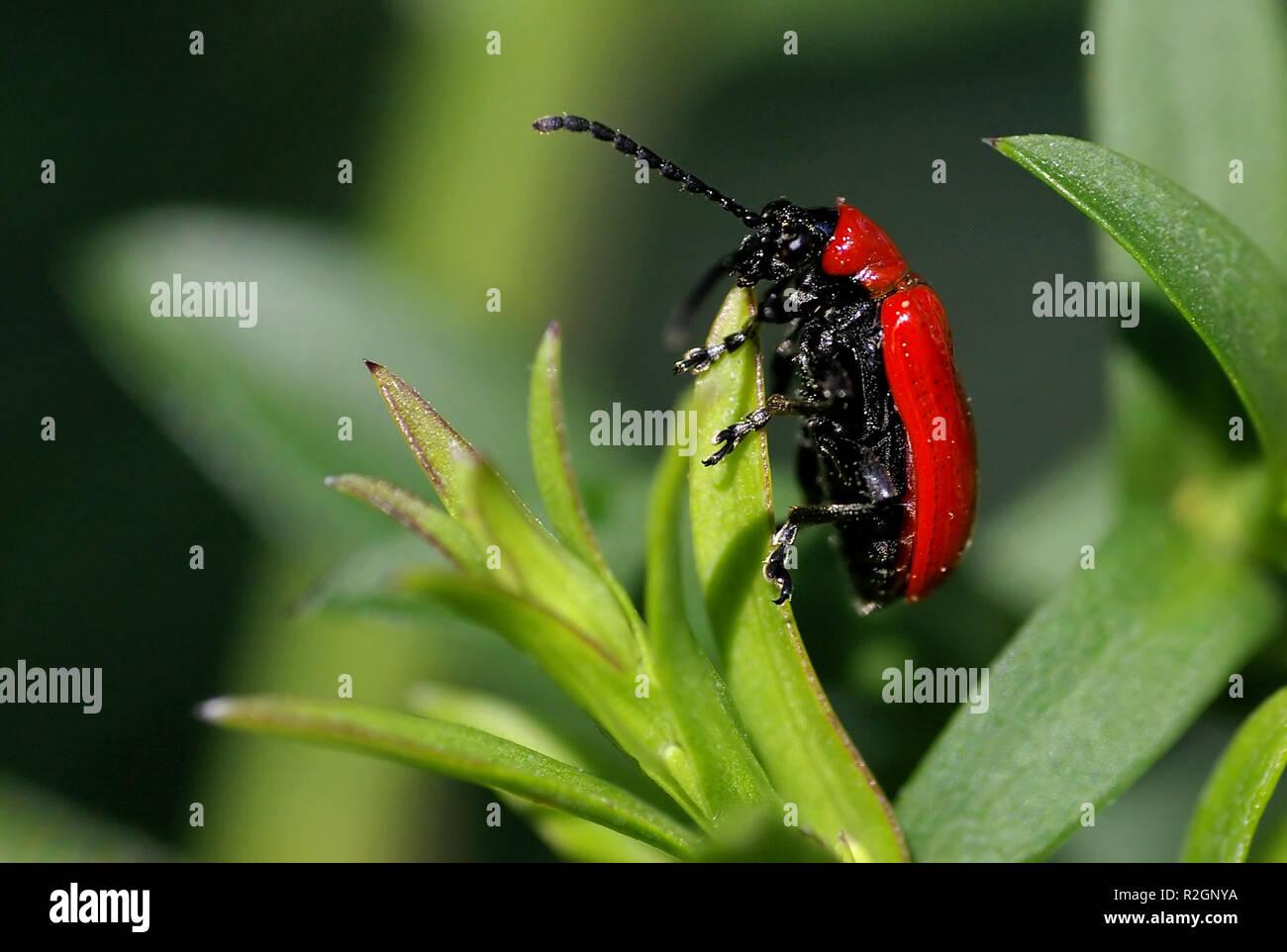 Lilioceris lilii Stockbild