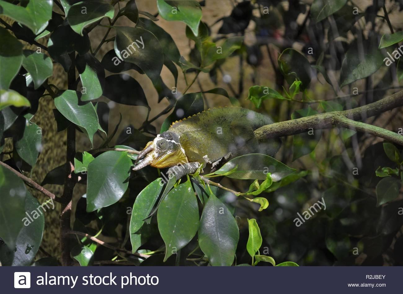 Seltene drei gehörnten Jacksons Chamäleon (Trioceros jacksonii) sitzt auf einem Ast zwischen grünen Blättern und farbenfrohen Reptil mit drei Hörner Stockfoto